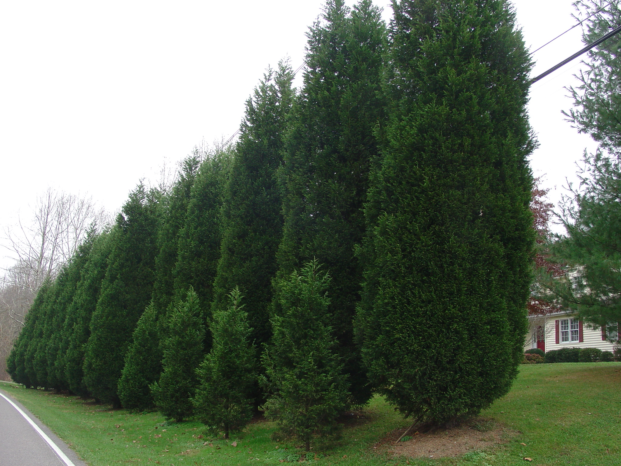 Leyland Cypress For Fast Growing Evergreen Privacy What