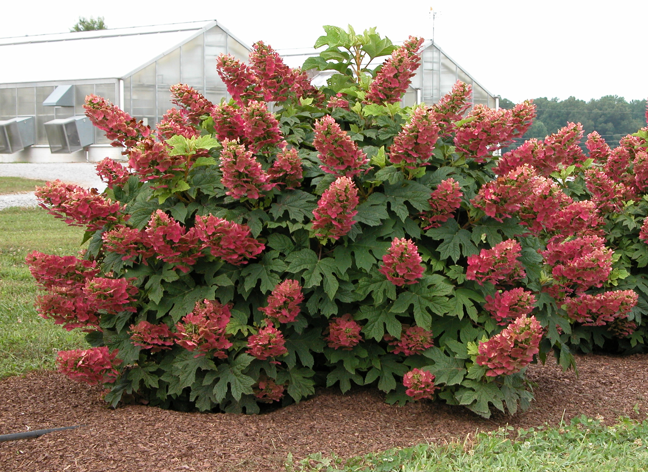 Two Sensational New Oakleaf Hydrangeas : What Grows There :: Hugh Conlon, Horticulturalist ...