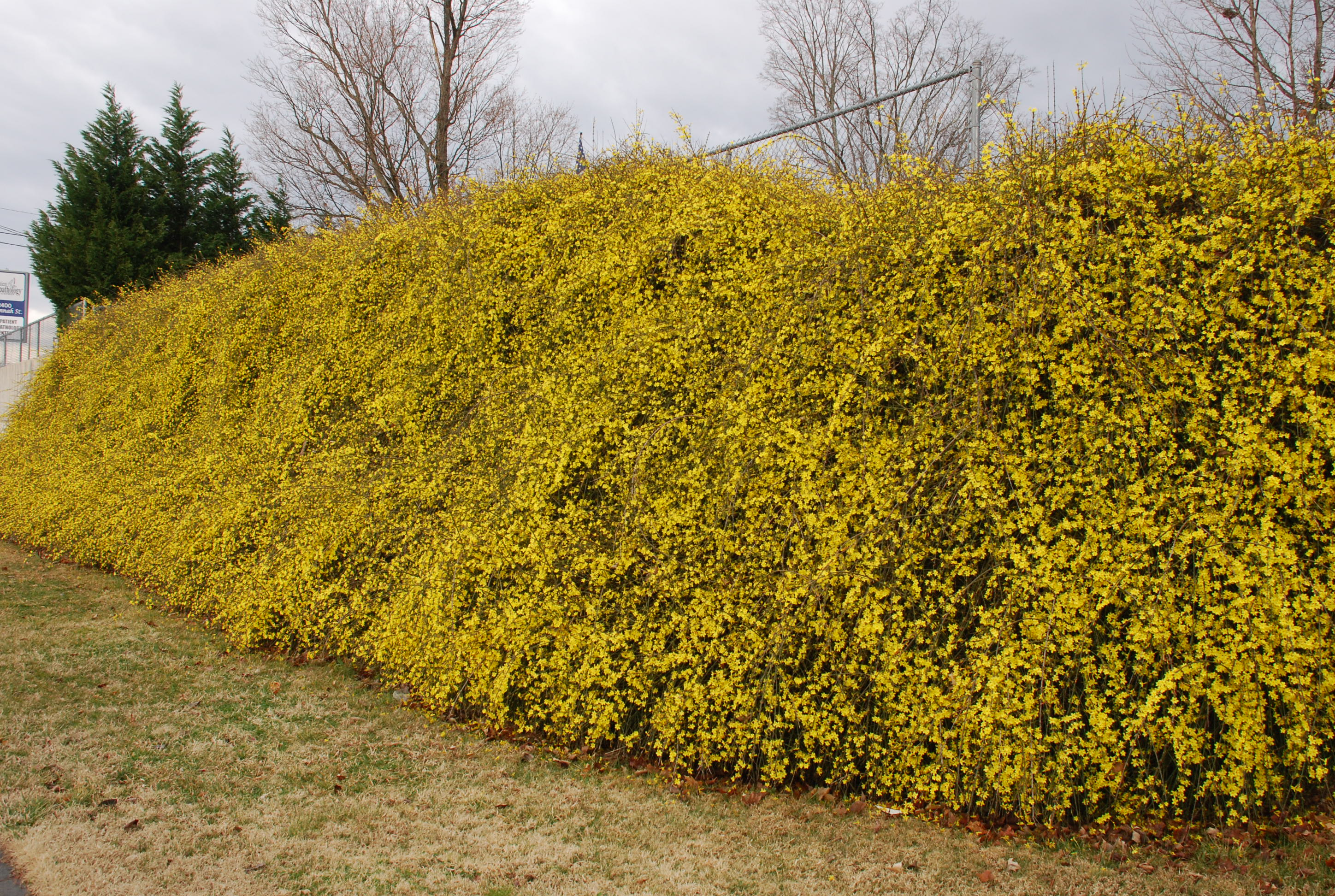winter jasmine rising what grows there hugh conlon horticulturalist professor lecturer. Black Bedroom Furniture Sets. Home Design Ideas