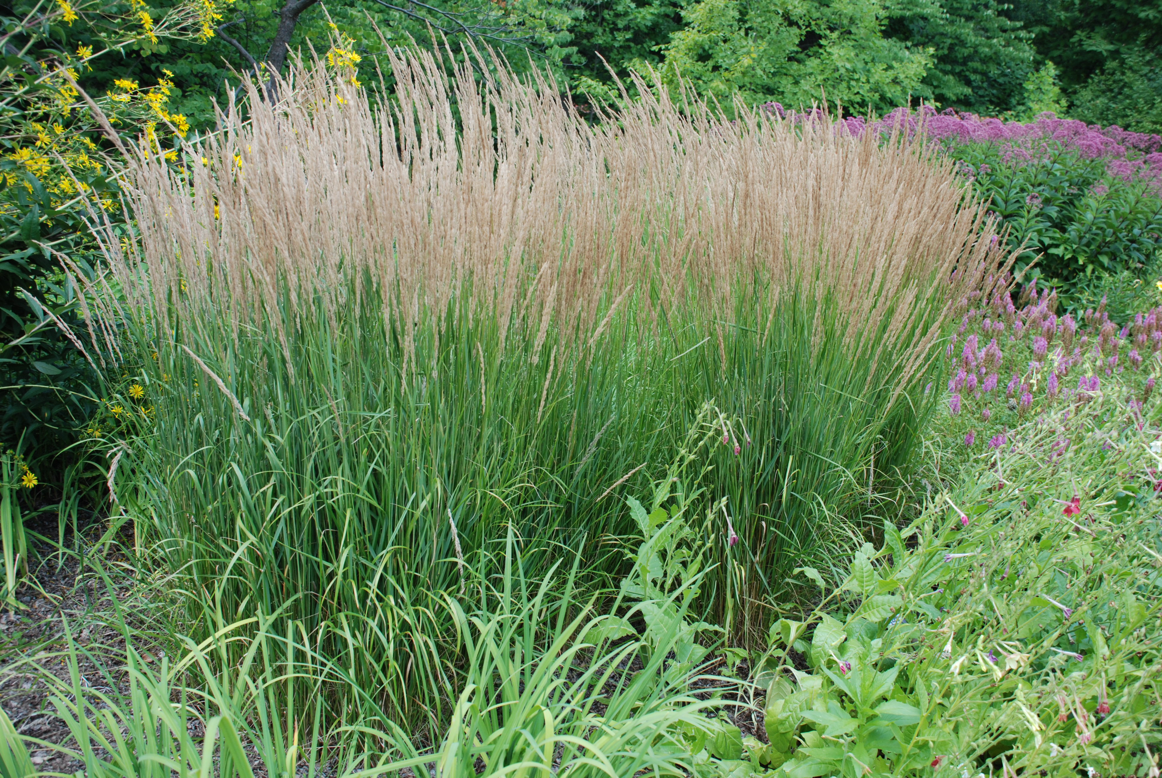 Three mid sized ornamental grasses for small gardens for Wild ornamental grasses