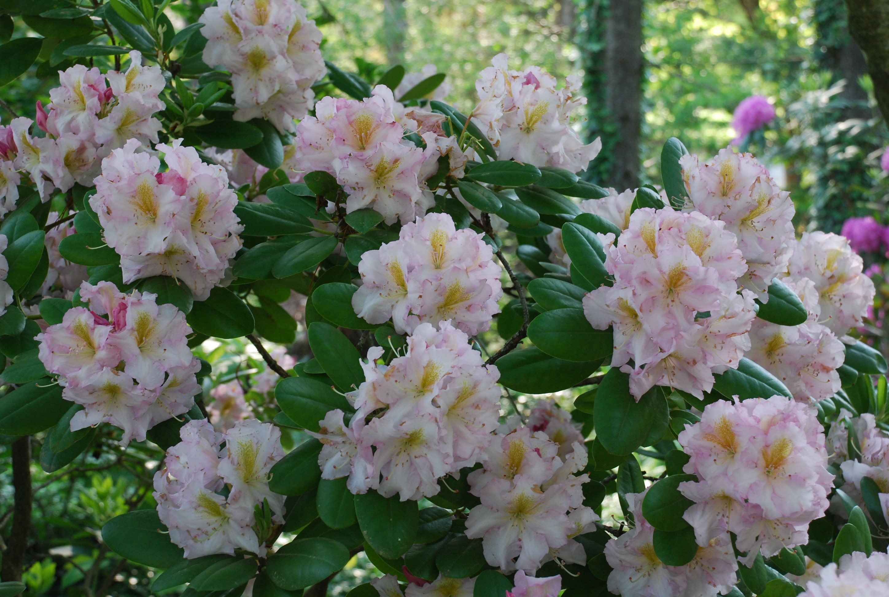 Janet blair rhododendron what grows there hugh conlon