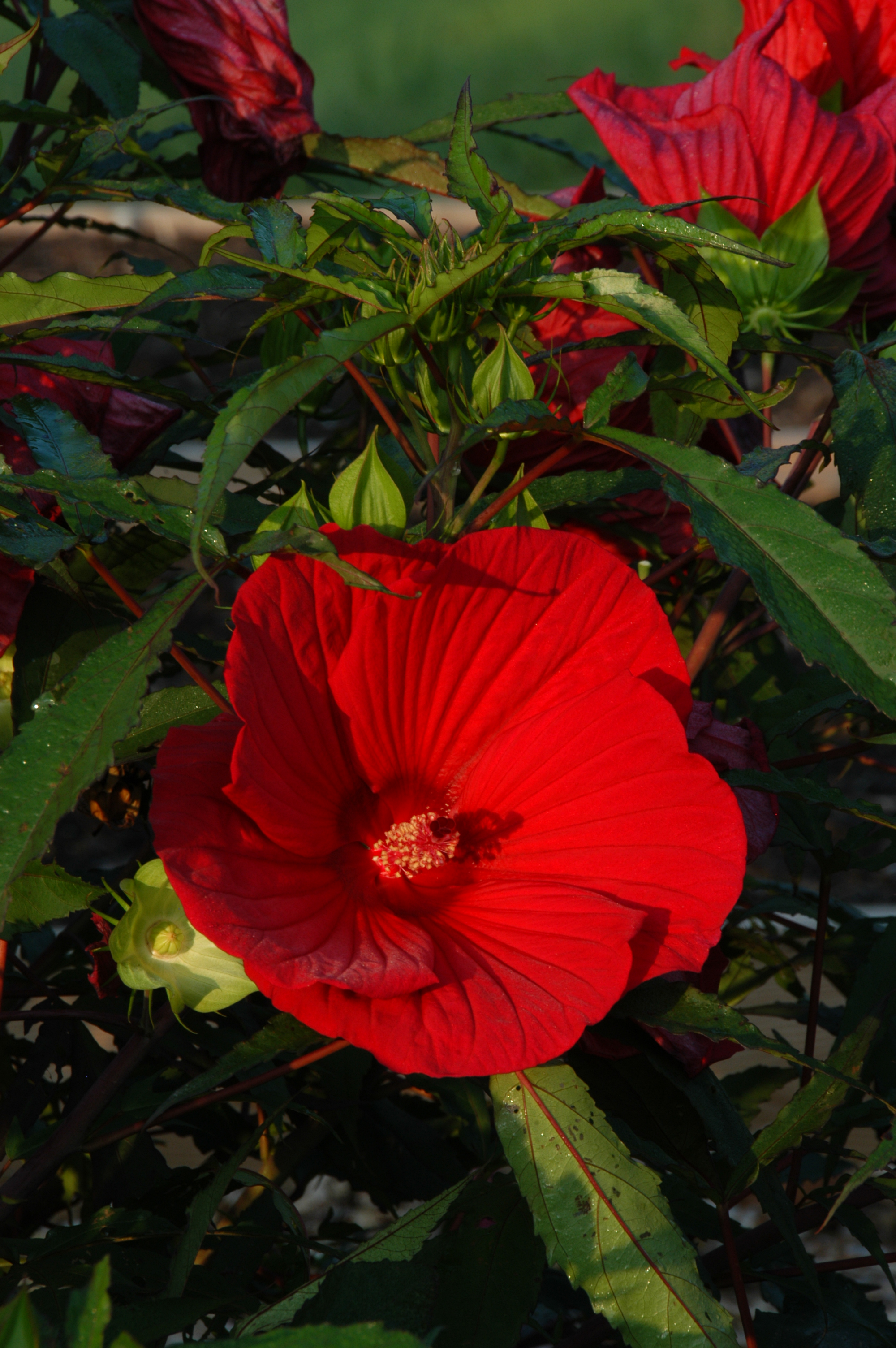 Flaming Fireball Hibiscus Quite A Summer Show What Grows There