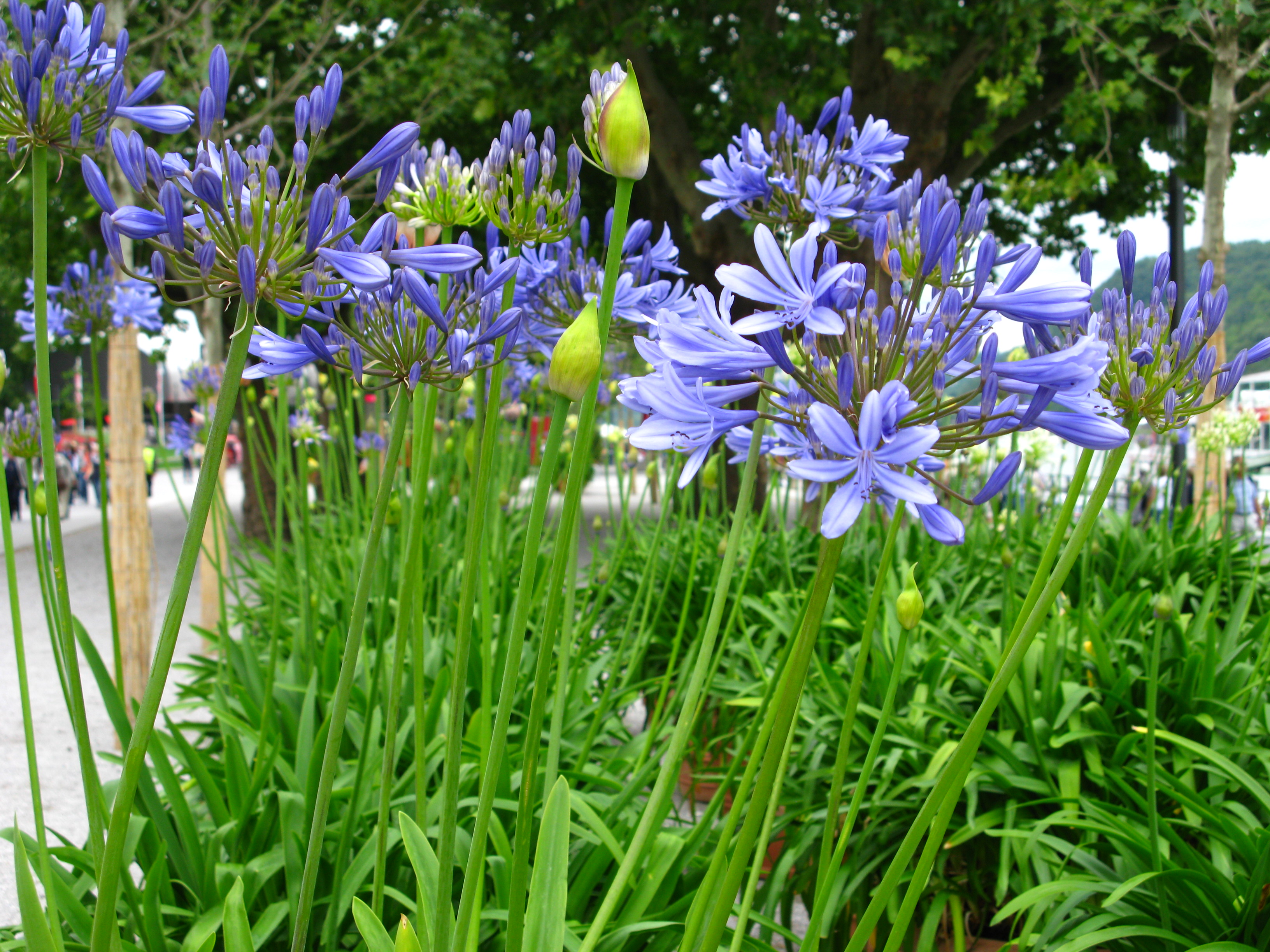 Hardy or not grow agapanthus what grows there hugh conlon lily izmirmasajfo