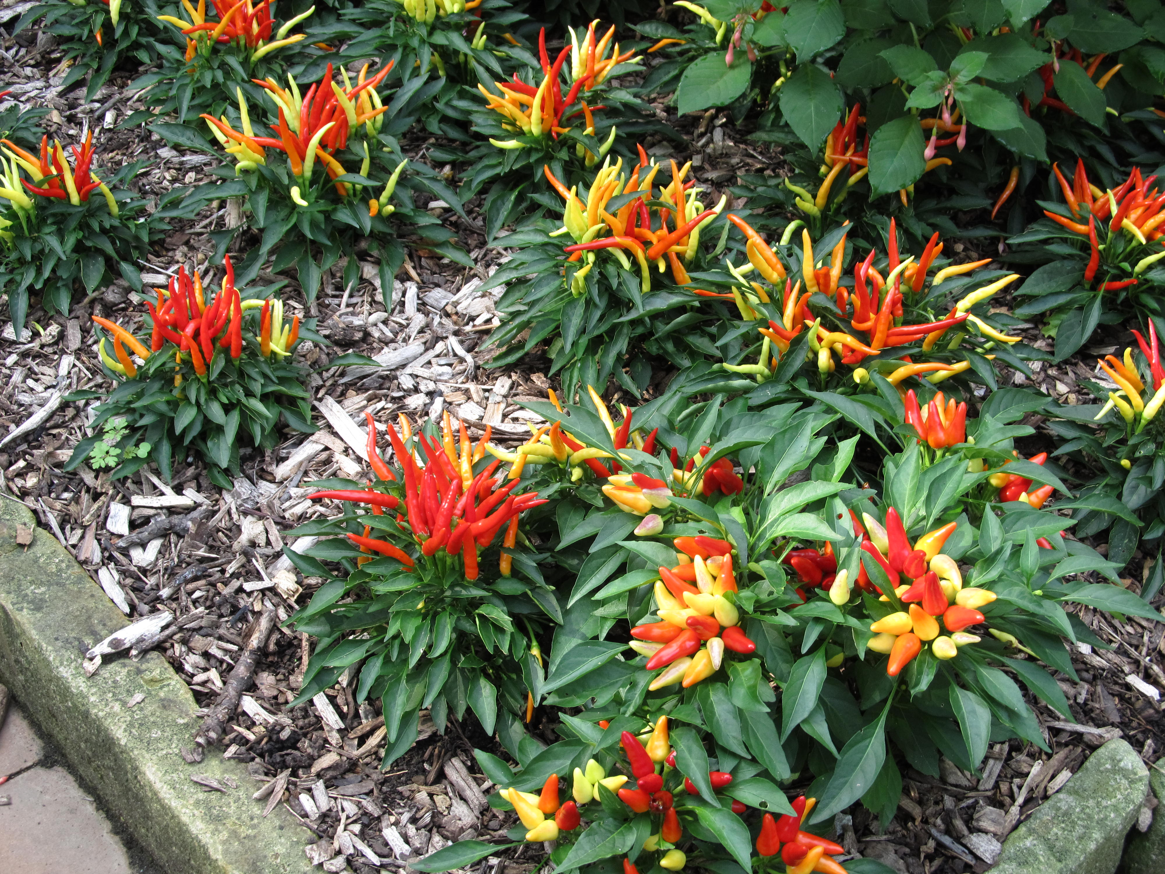 Ornamental peppers sizzle in autumn what grows there for Ornamental vegetable plants