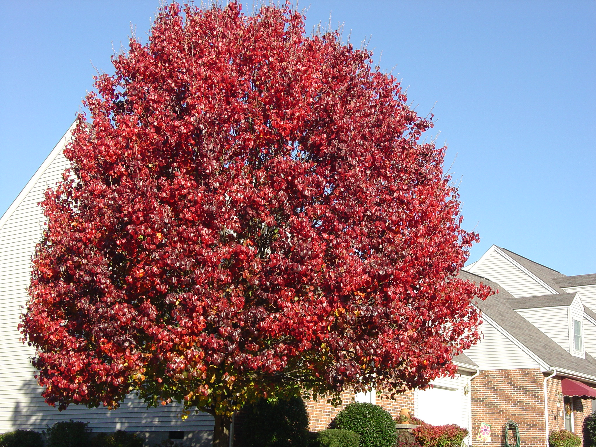 Autumn Colors Conclude with Callery Pears | What Grows There :: Hugh ...