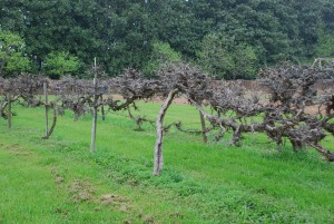 Growing Table Grapes In The Eastern U S What Grows There Hugh Conlon Horticulturalist