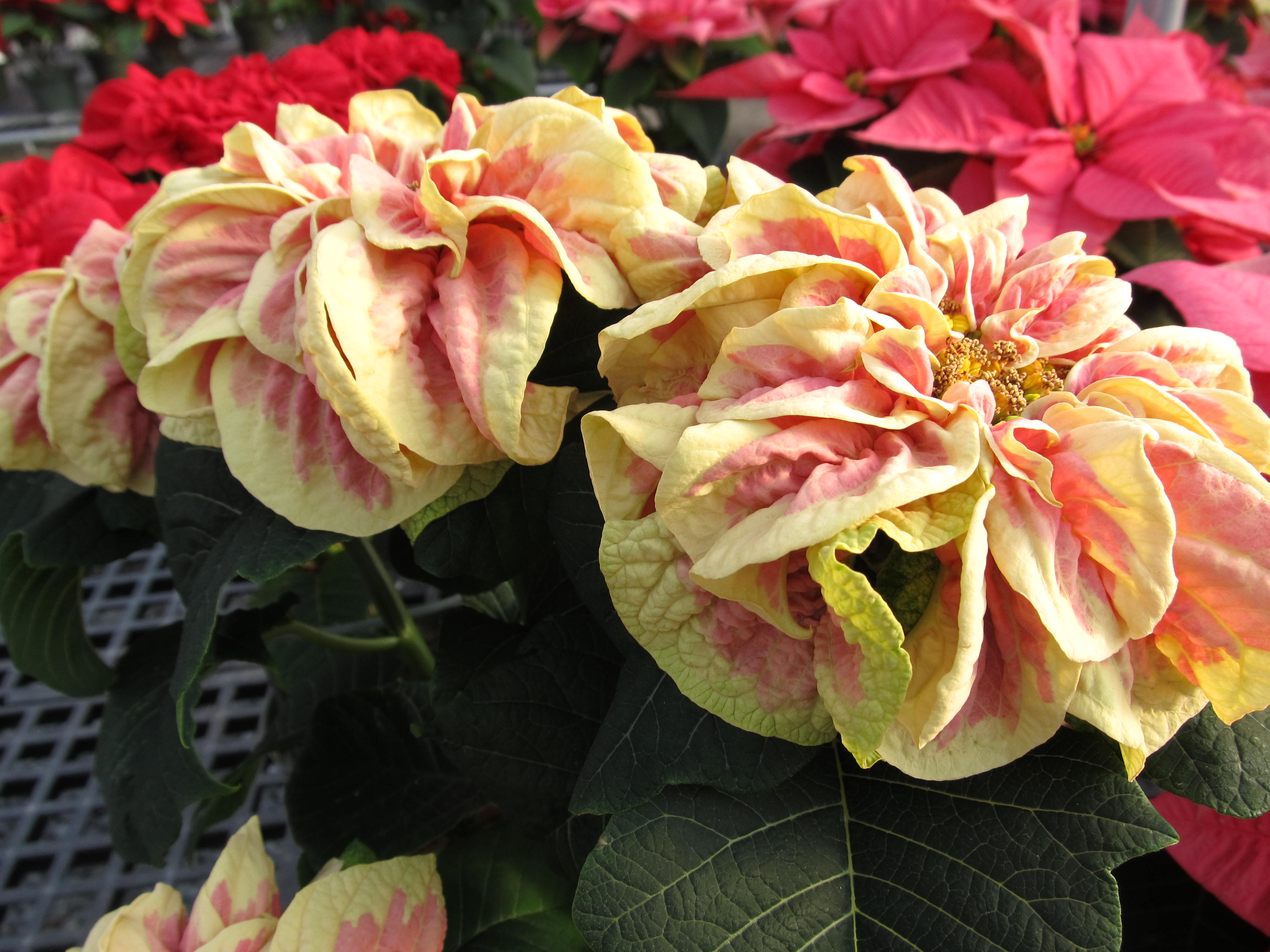 new poinsettia varieties make your holidays bright what grows