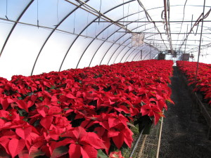 'Prestige' poinsettias