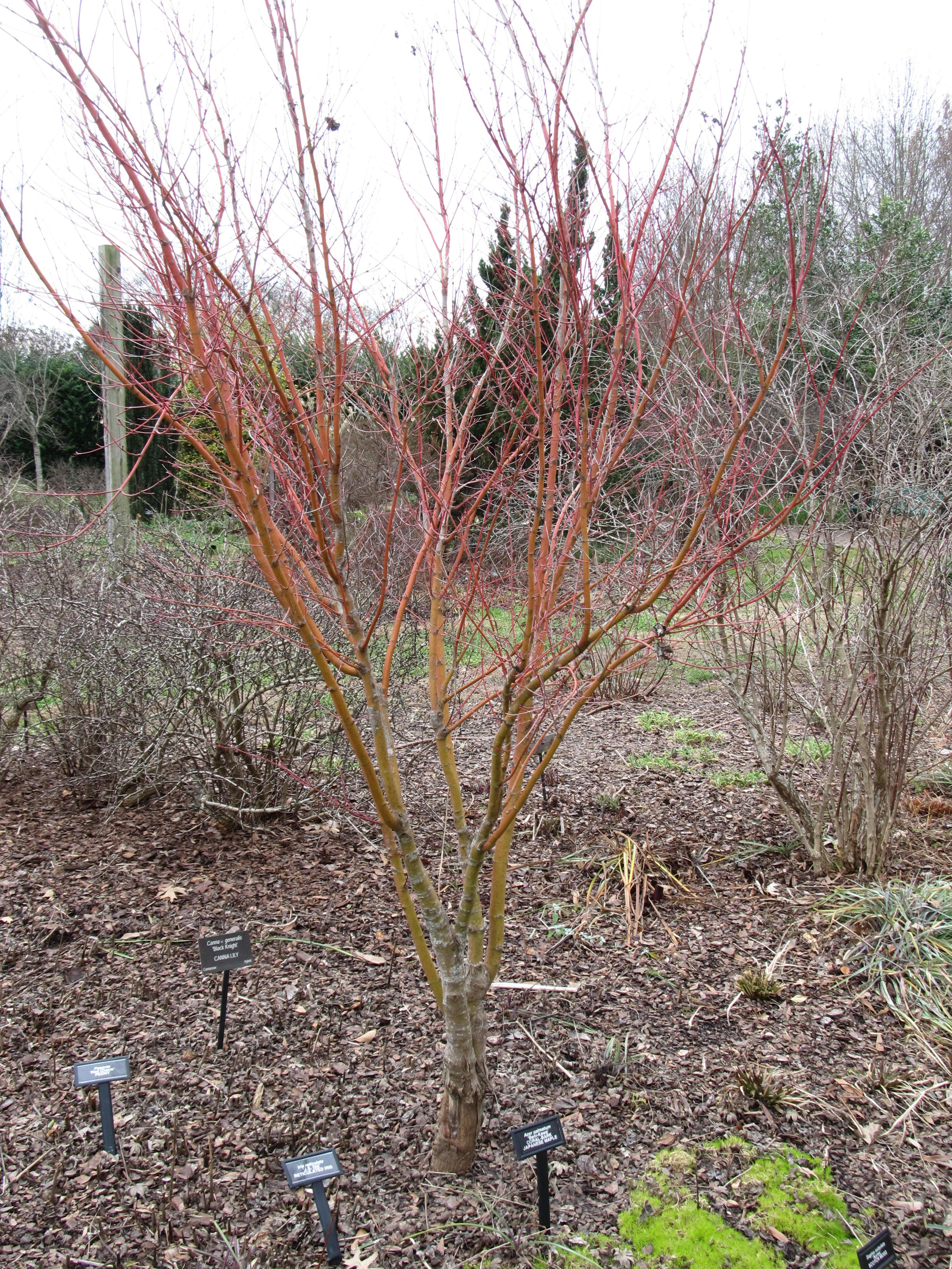 Beni Kawa Japanese Maple For Winter Bark Color What Grows There