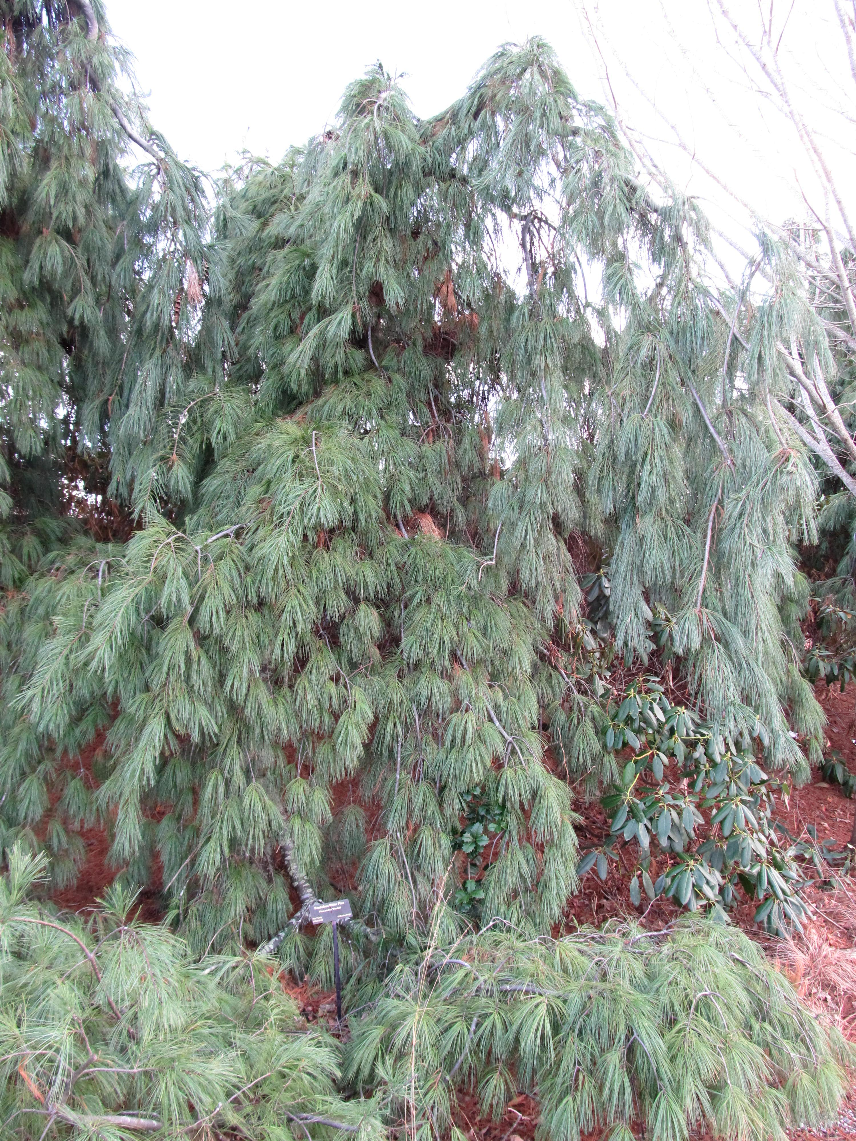 Dont Crawl Letem Weep White Pine What Grows There Hugh