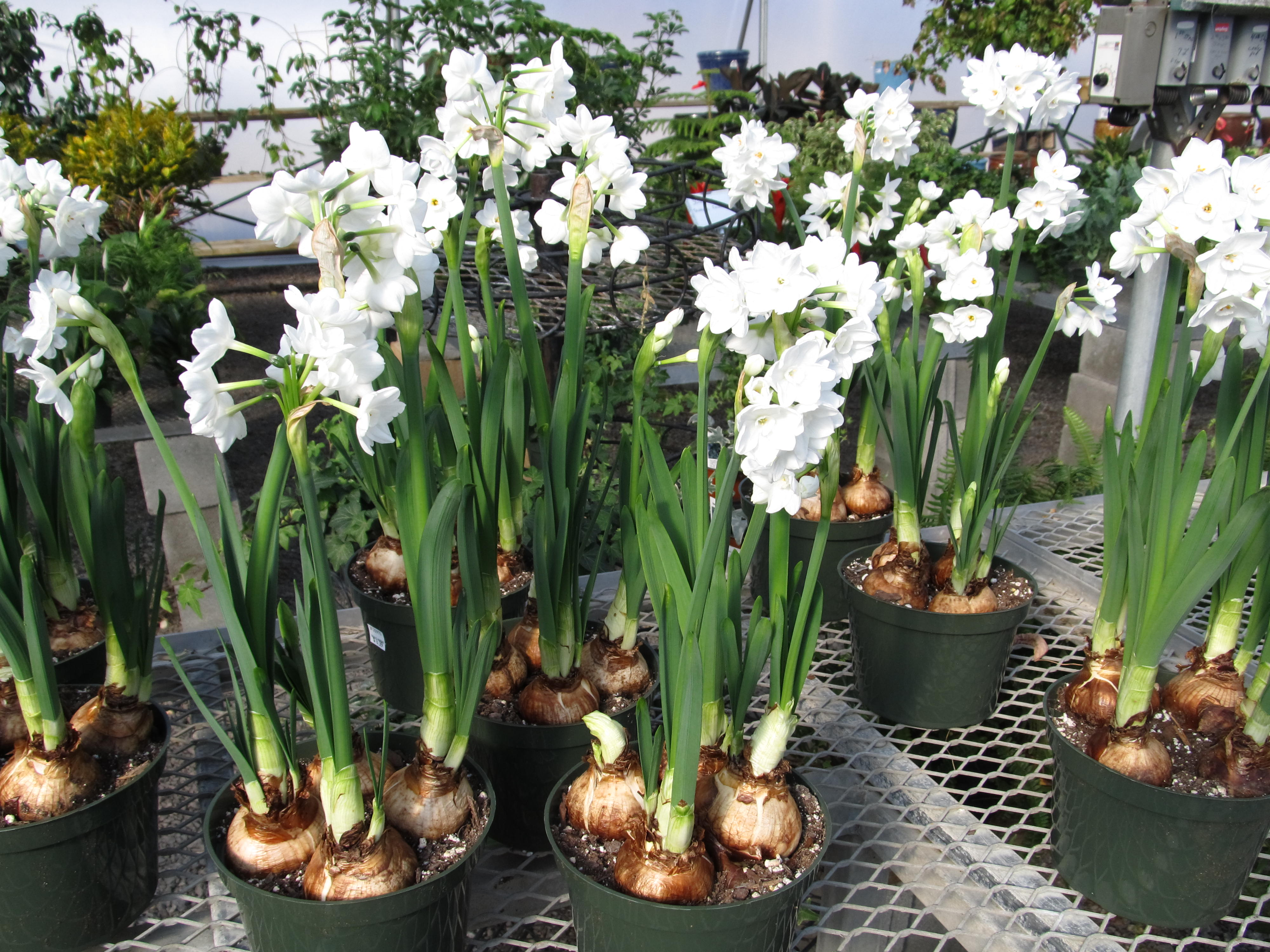 Get Past The Winter Blahs With Paperwhite Narcissus What Grows