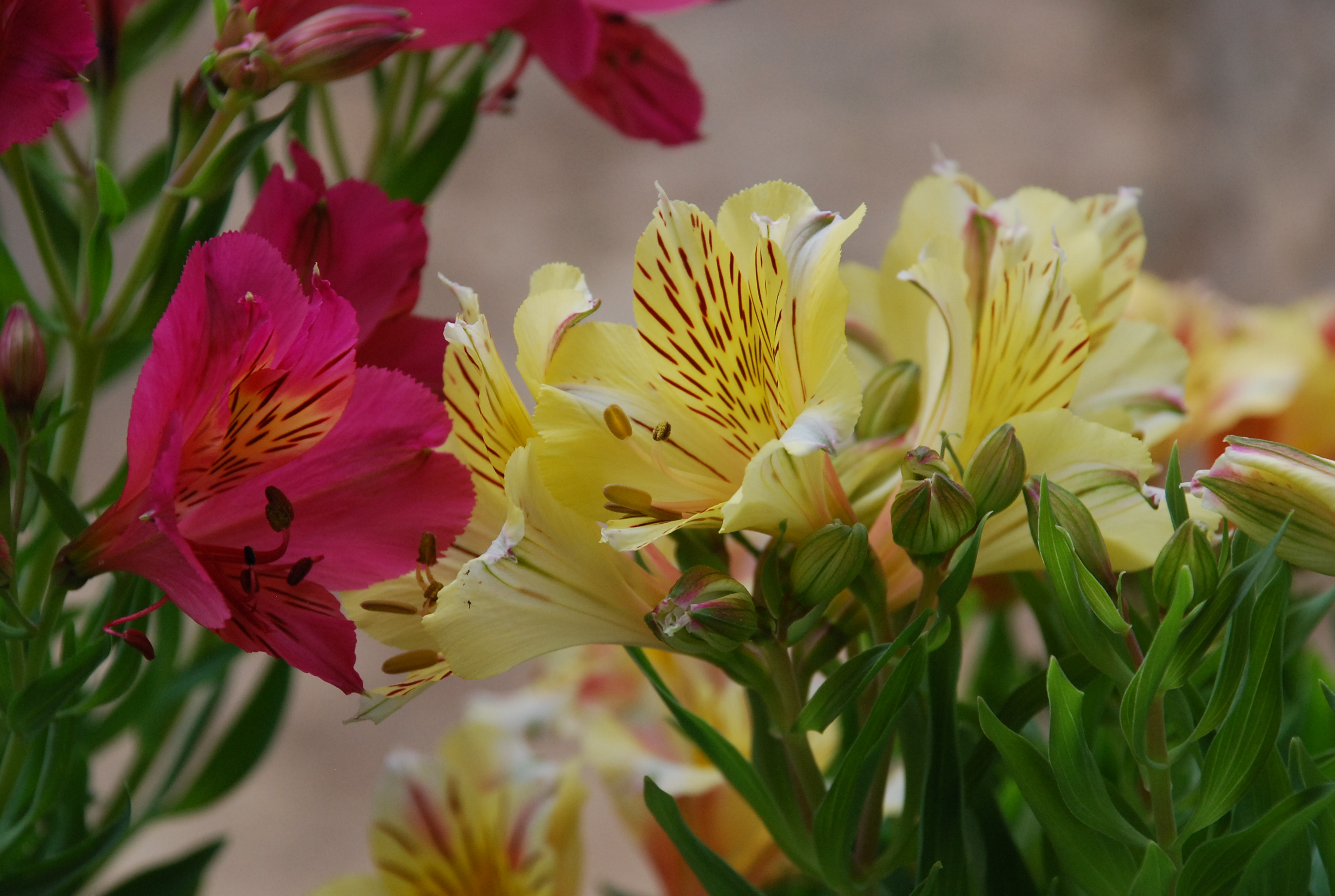 Peruvian lilies a gift which keeps on giving what grows there peruvian lilies alstroemeria izmirmasajfo Gallery