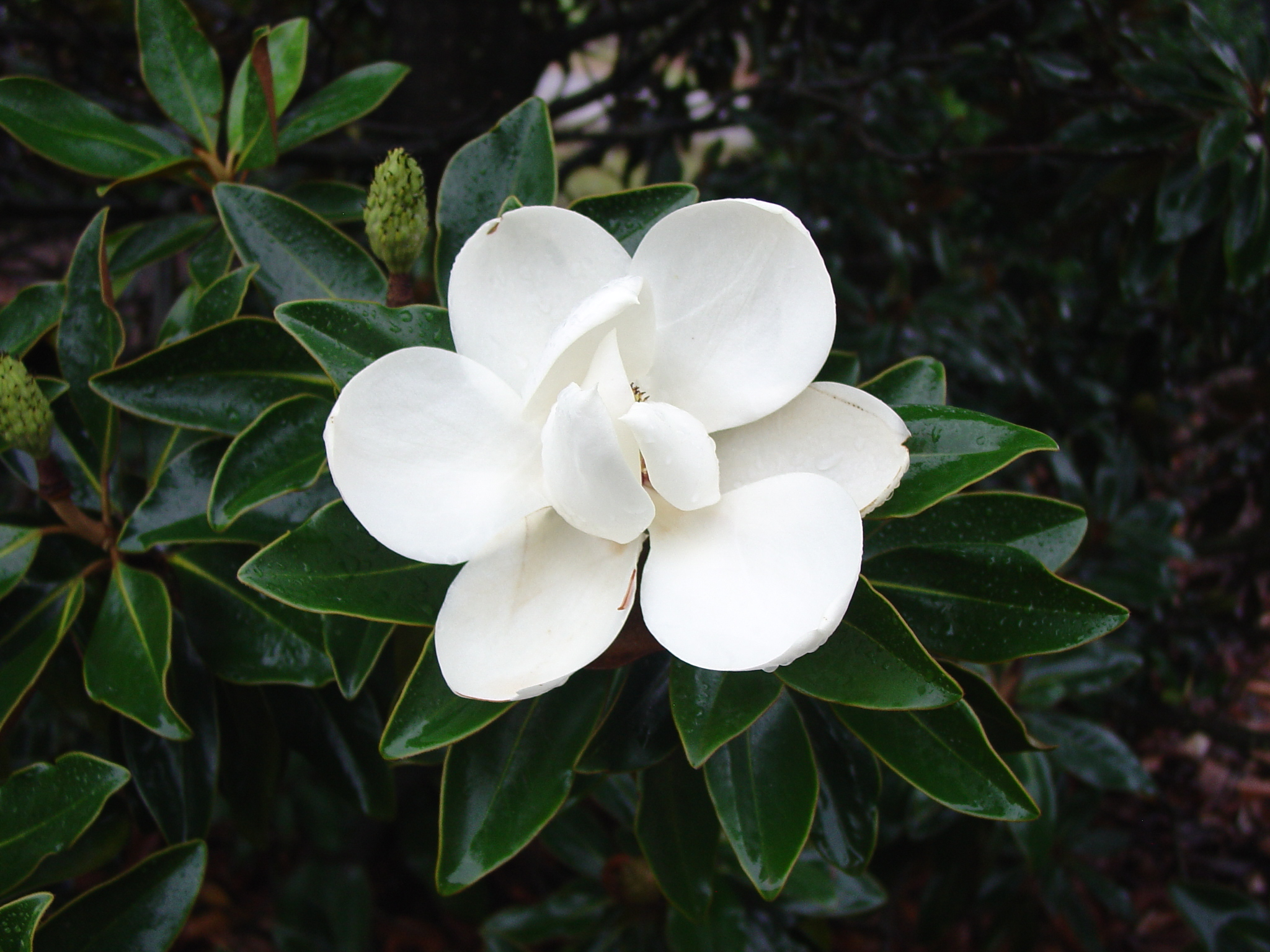 Dwarf Southern Magnolia Cultivars What Grows There Hugh Conlon