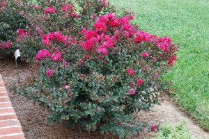 Small Dwarf Crape Myrtles Becoming The Vogue What