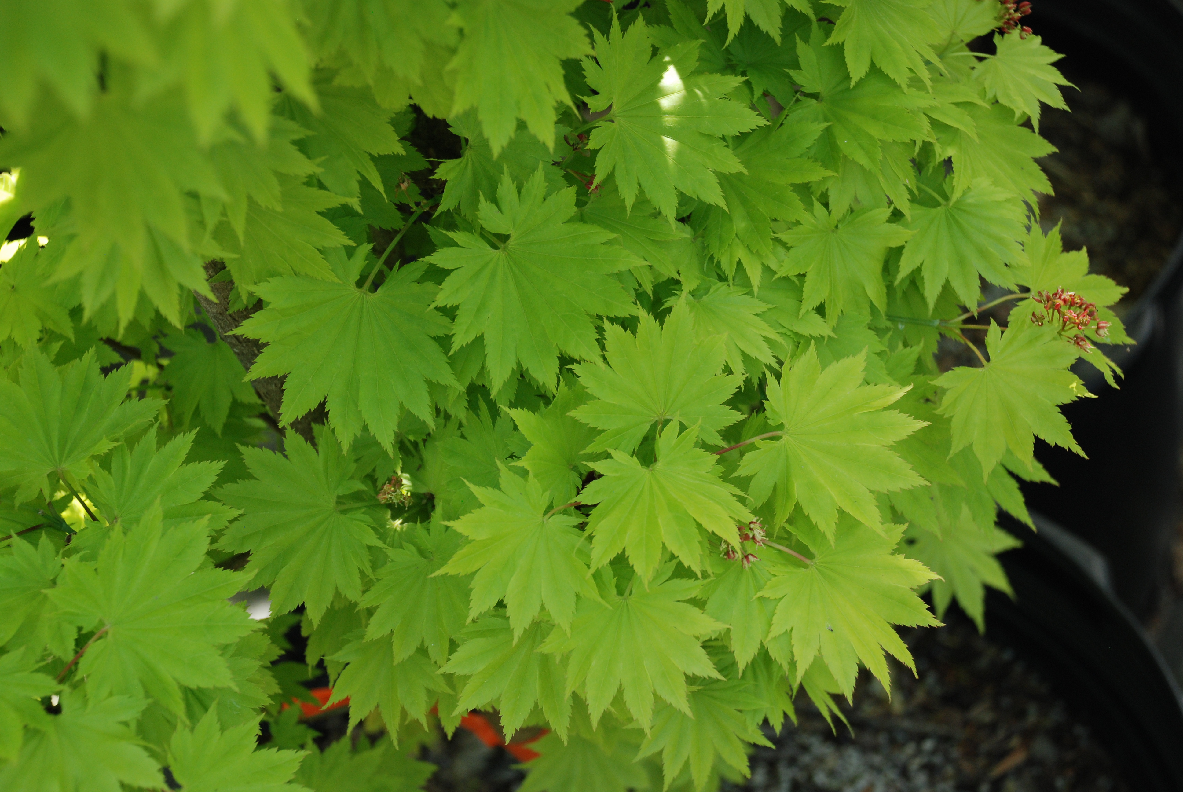 Growing Full Moon Maple In The Southeast Us What Grows There