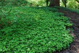 Boxwood Blight Discovered On Pachysandra What Grows