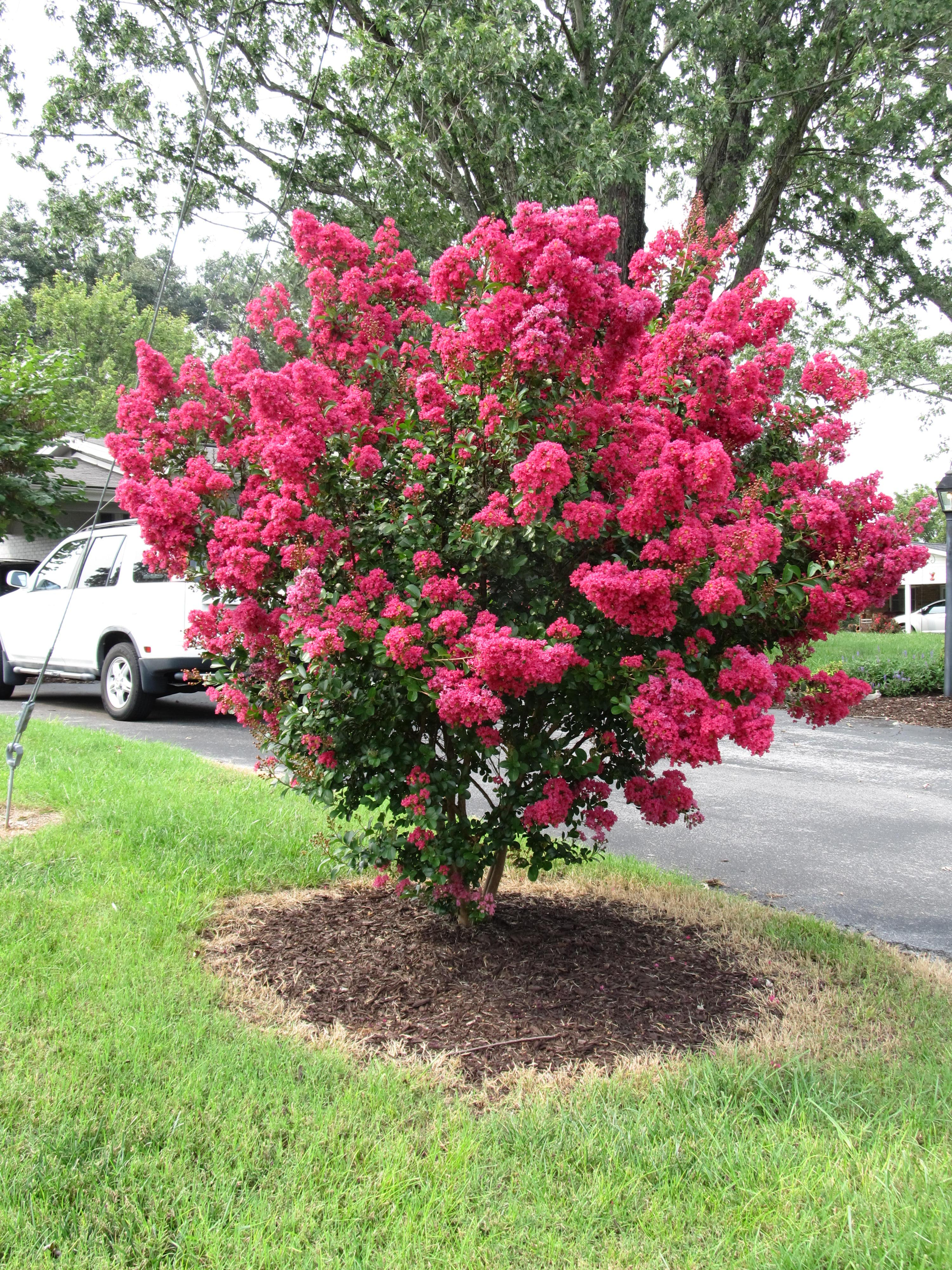 Red Sells Red Flowering Crape Myrtles What Grows