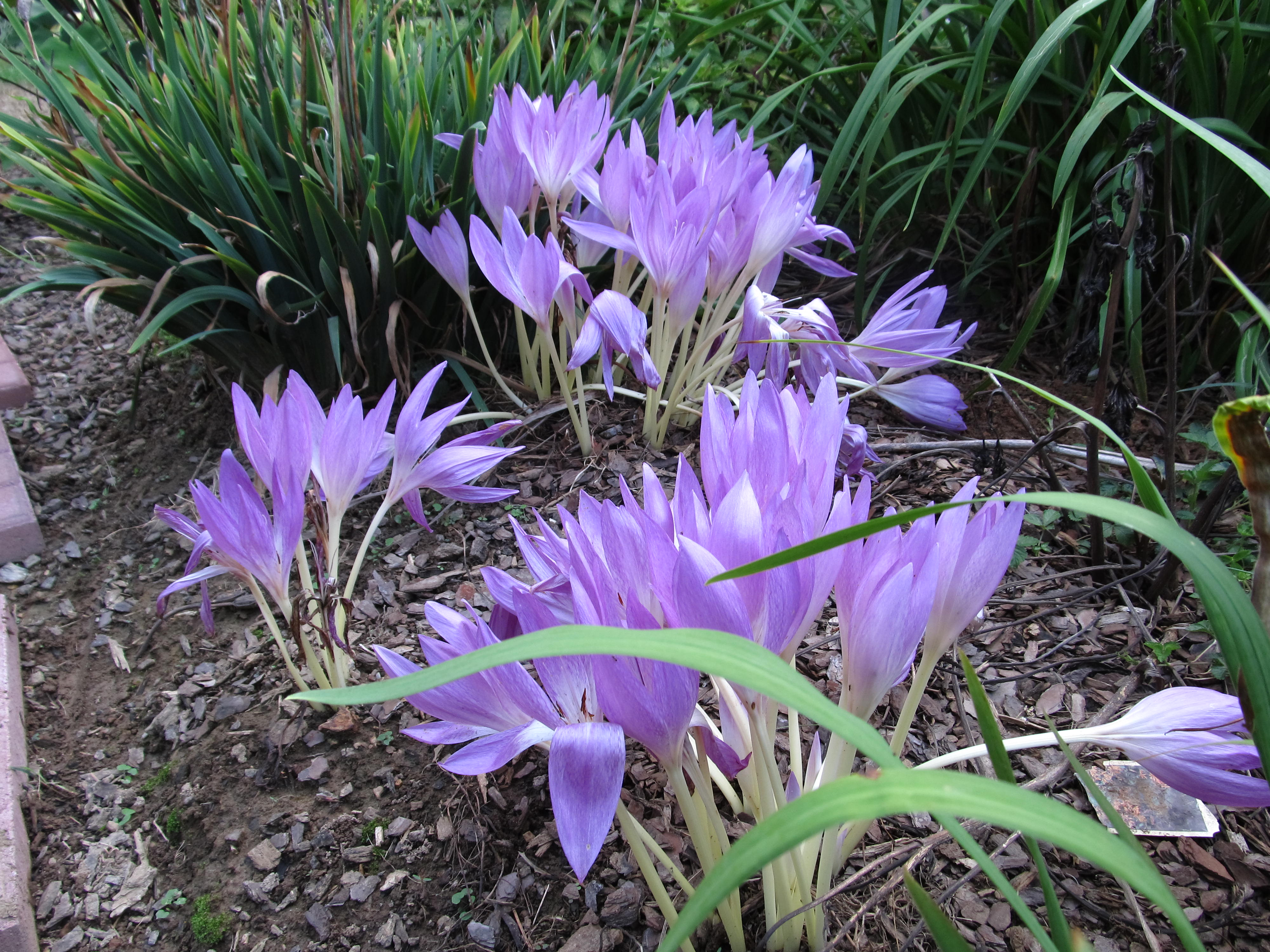 Late summer bulbous beauties spider lily and fall crocus what colchicum izmirmasajfo