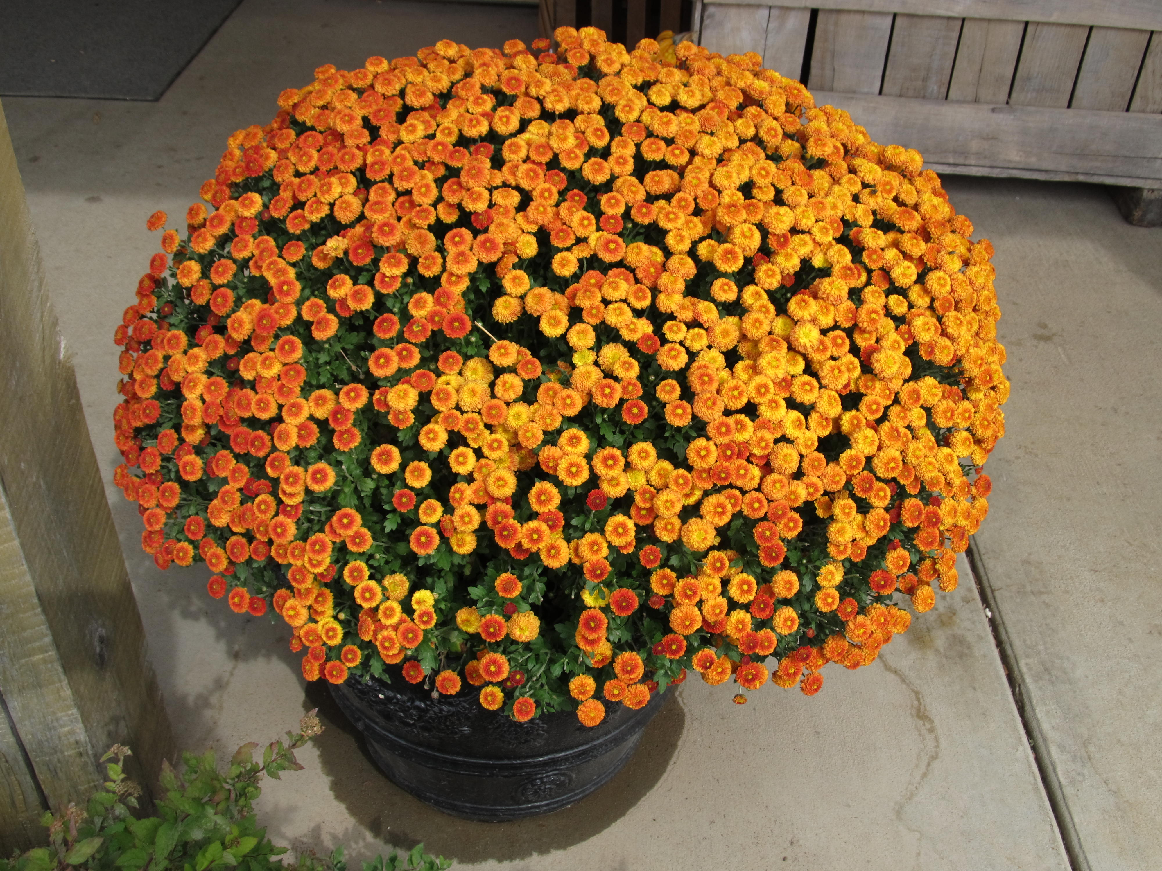 decorate with fall mums what grows there hugh conlon
