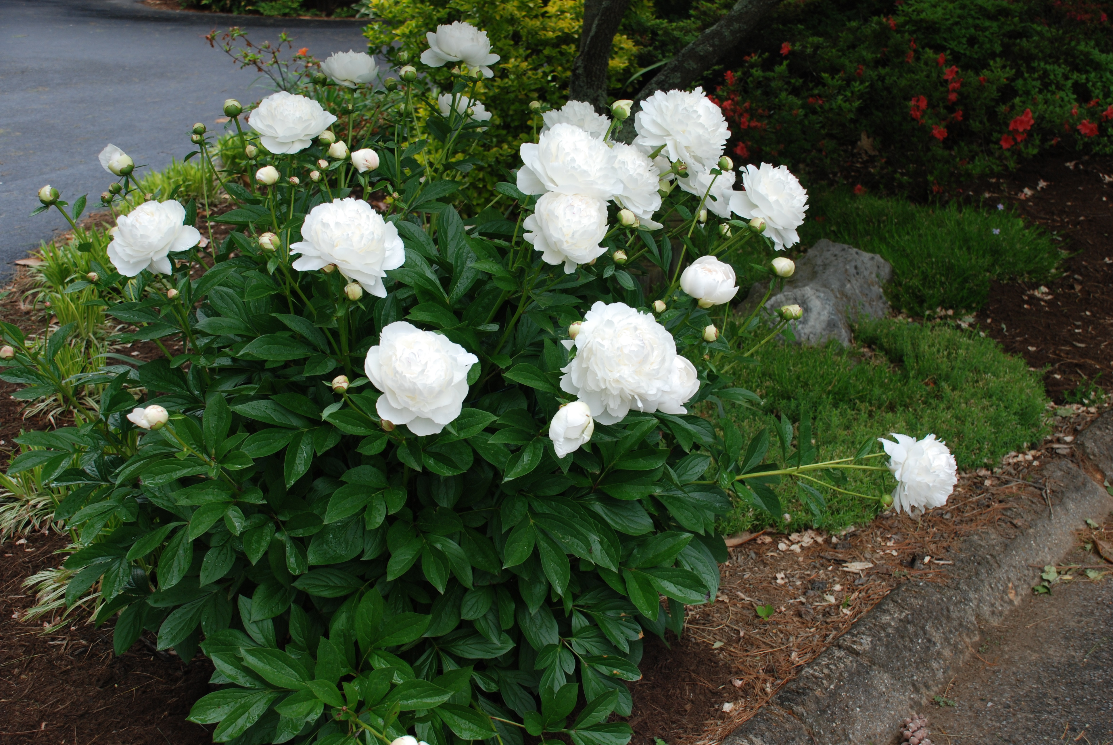 Peonies Require Very Little Care Ever What Grows There Hugh