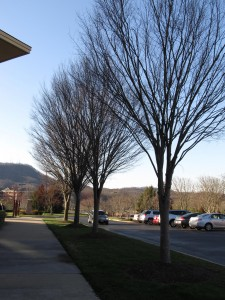 Zelkova Becoming Dominant Urban Street Tree What Grows