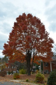 fall color calendar for red maple what grows there. Black Bedroom Furniture Sets. Home Design Ideas