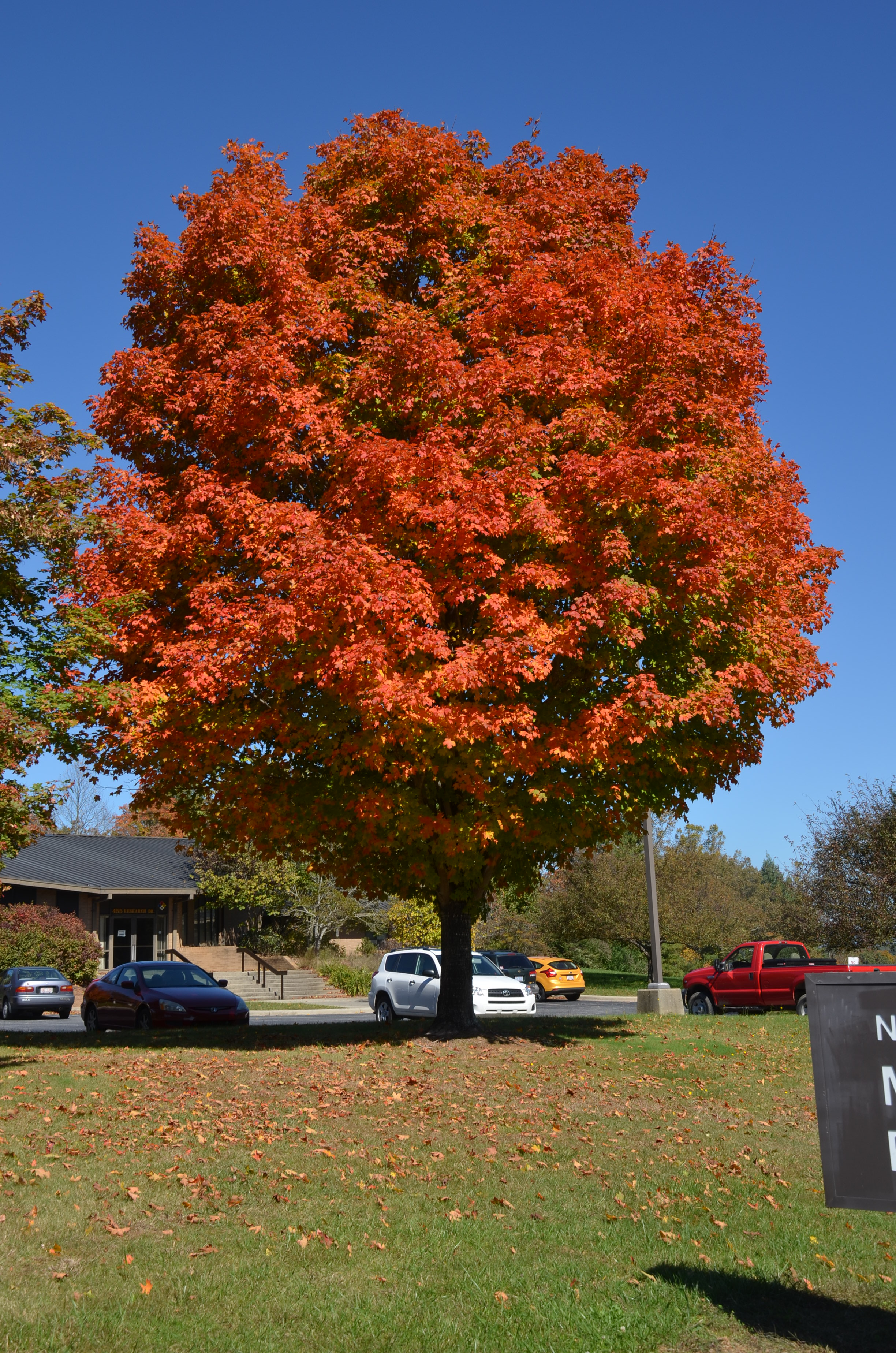 Sugar Maple Is A Four Star Autumn Attraction What Grows There