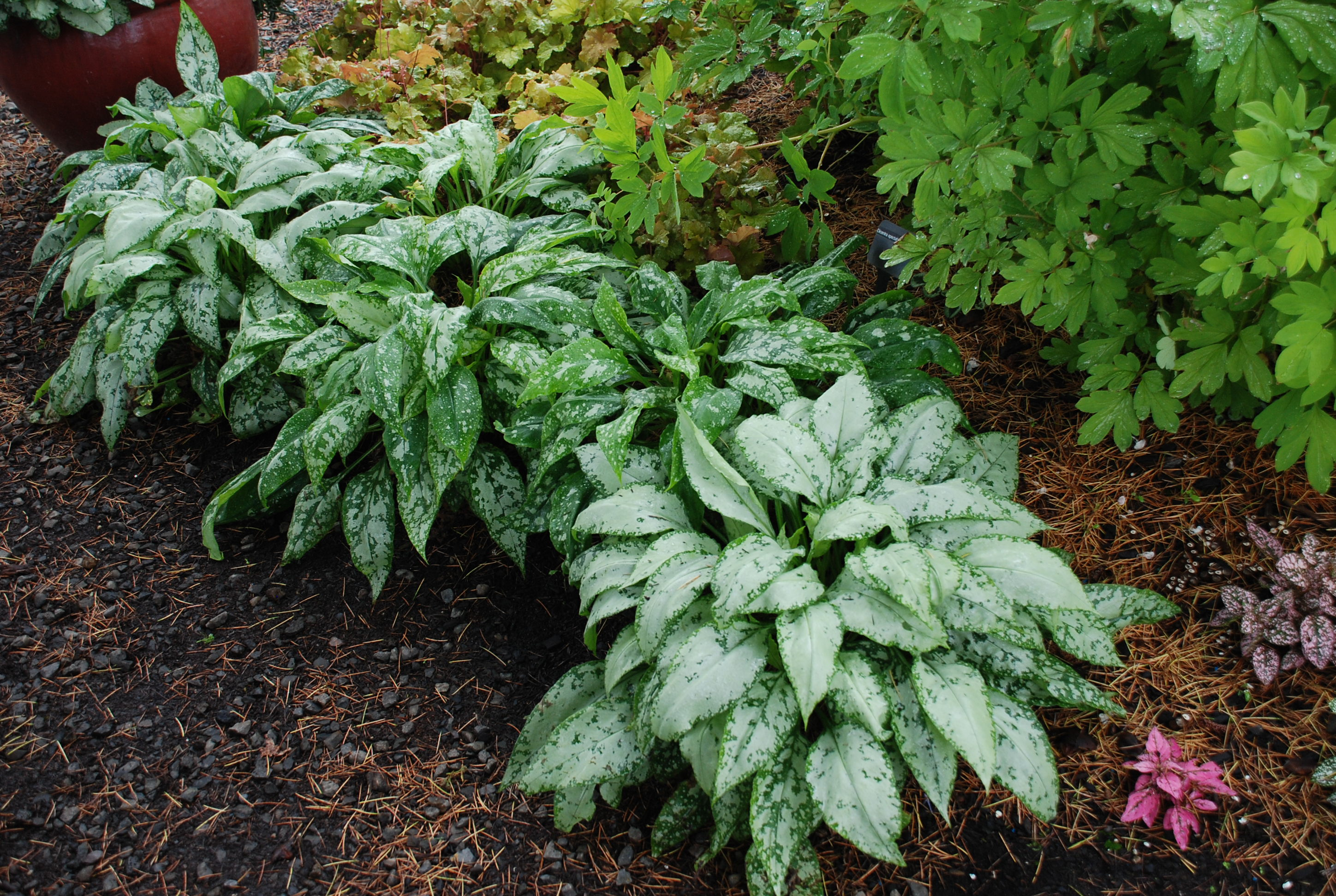 Lungworts Perfect Shade Companion With Hostas What Grows There