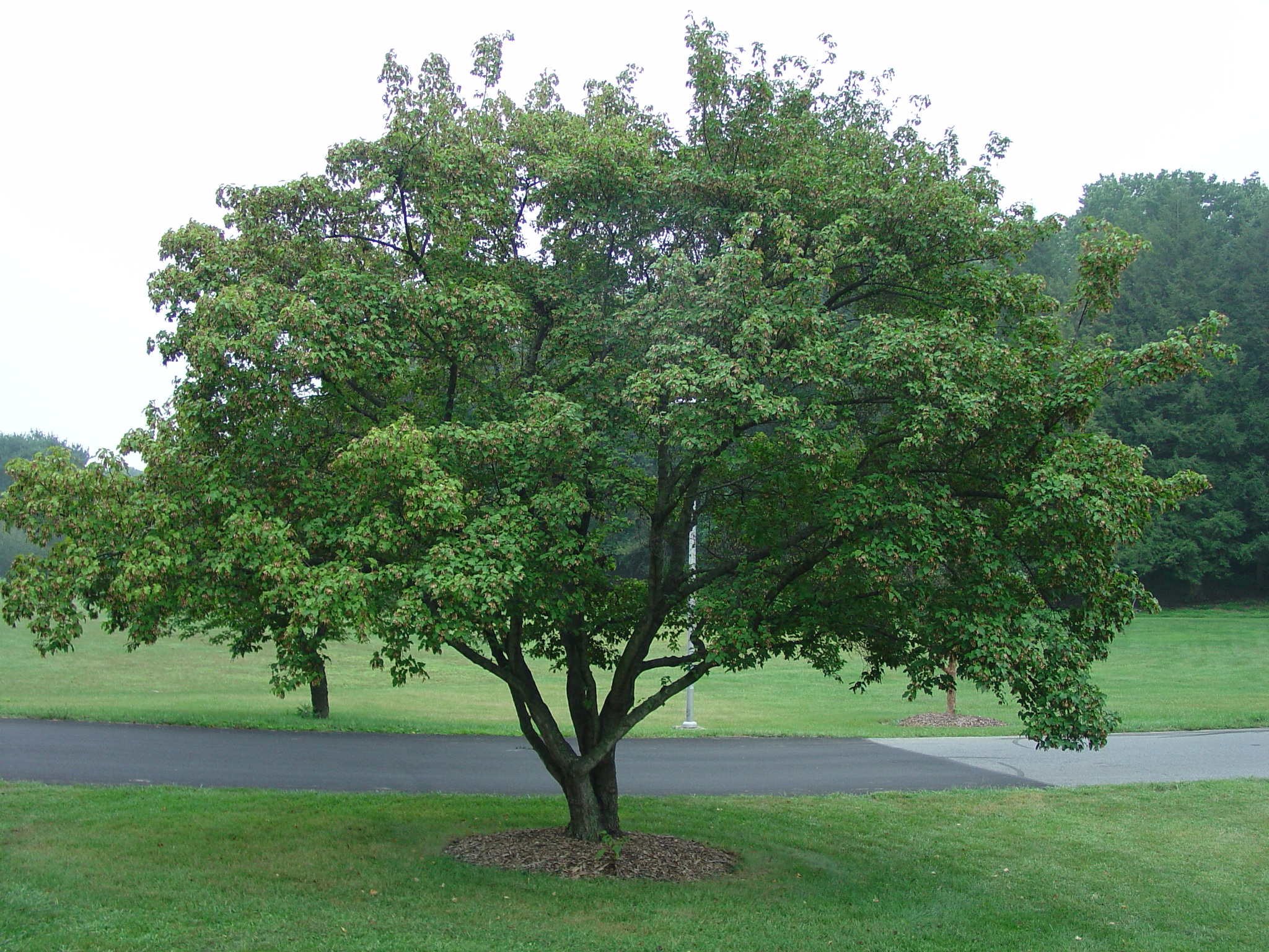 Amur maple excellent medium sized tree for urban for Popular small trees