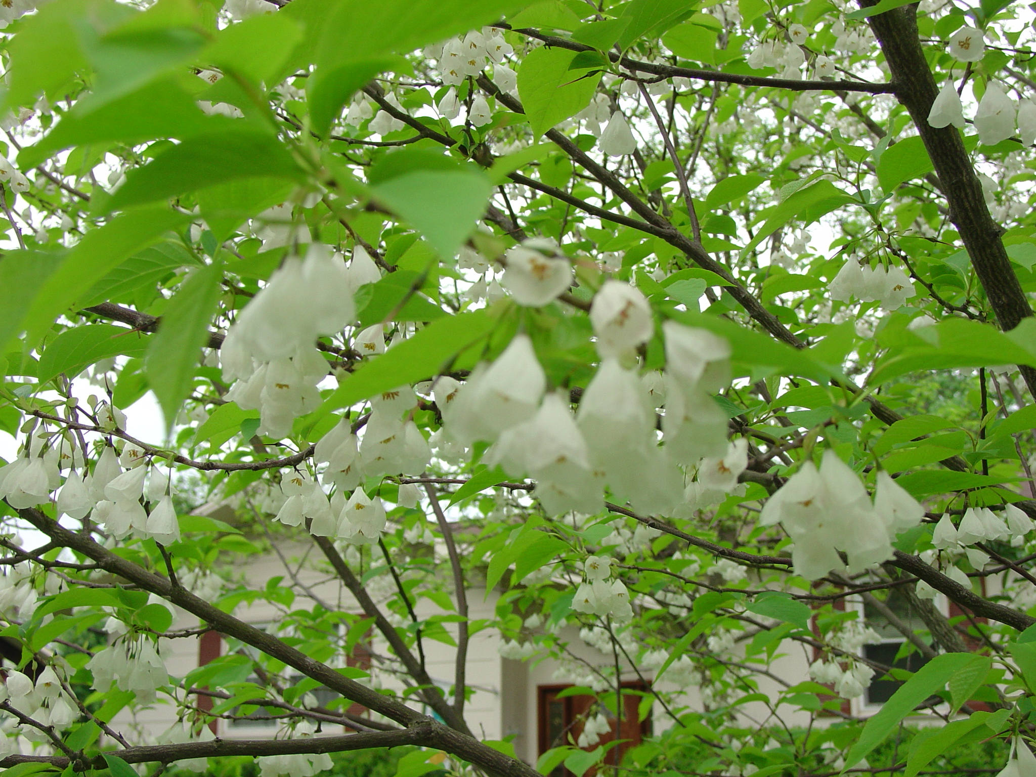 Silverbell tree are great additions to your garden what grows carolina silverbell mightylinksfo