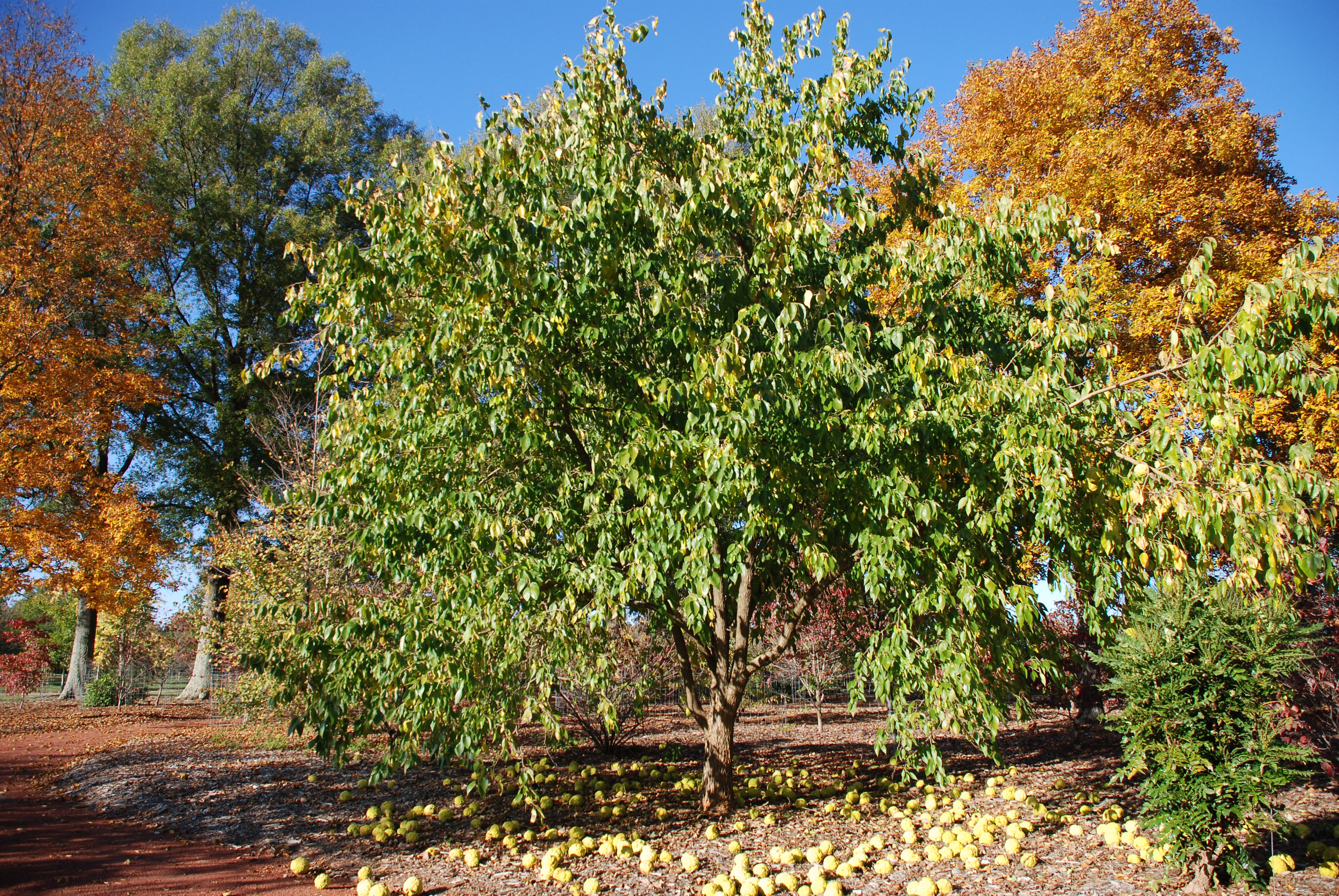 White Shield\' – New Thornless Osage Orange | What Grows There ...