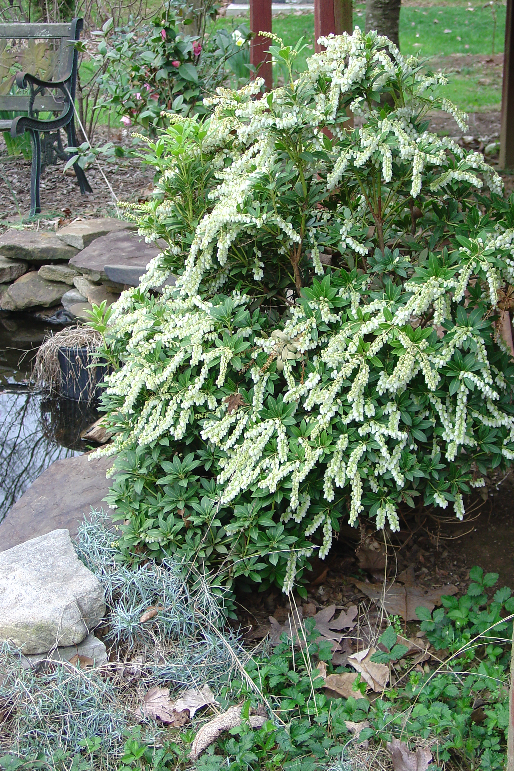 Start Spring Out with Easy To Grow Japanese Pieris | What ... Pieris Japonica Mountain Fire