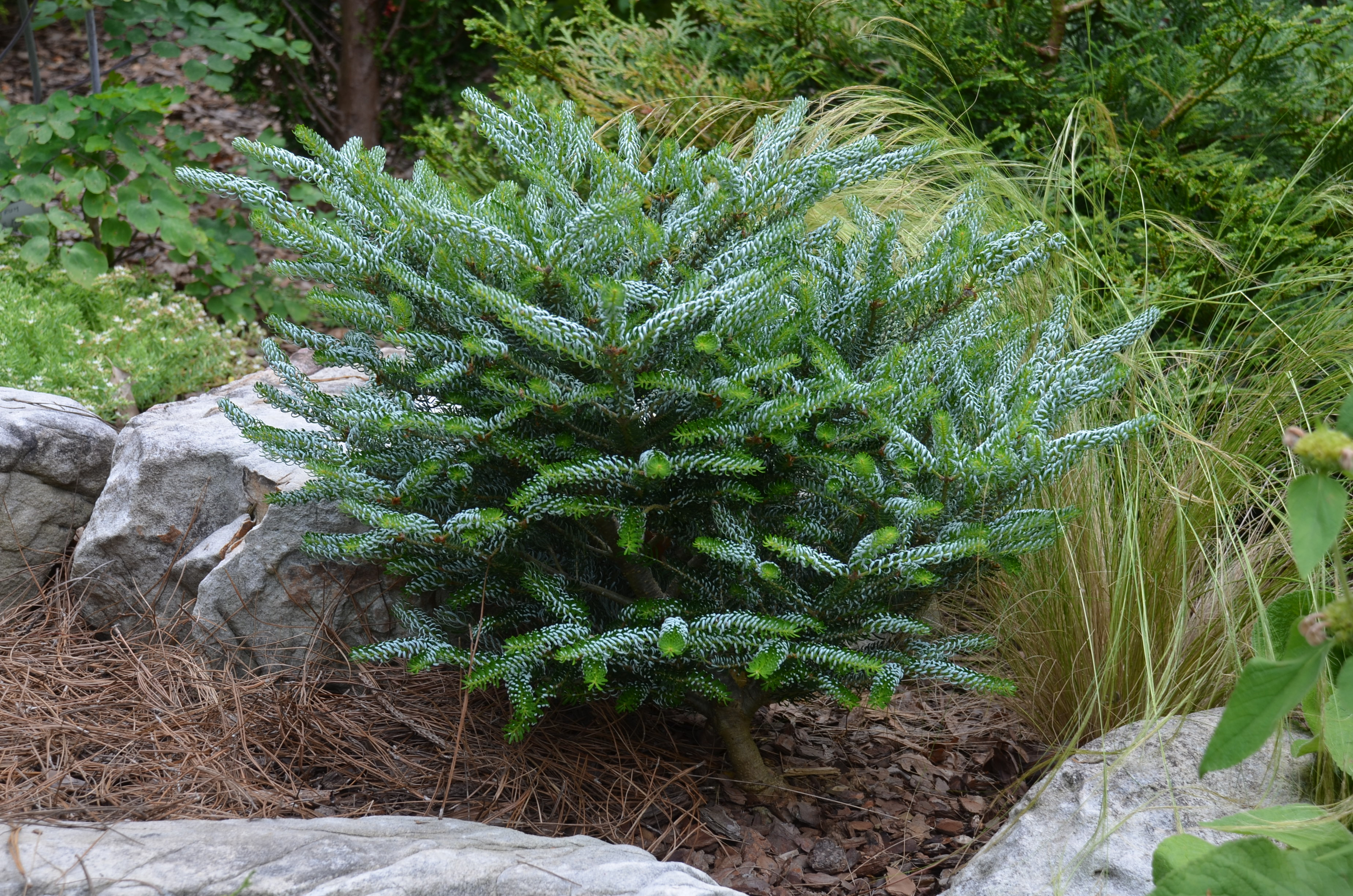 Silberlocke Korean Fir Gets Lots Of Favorable Comments