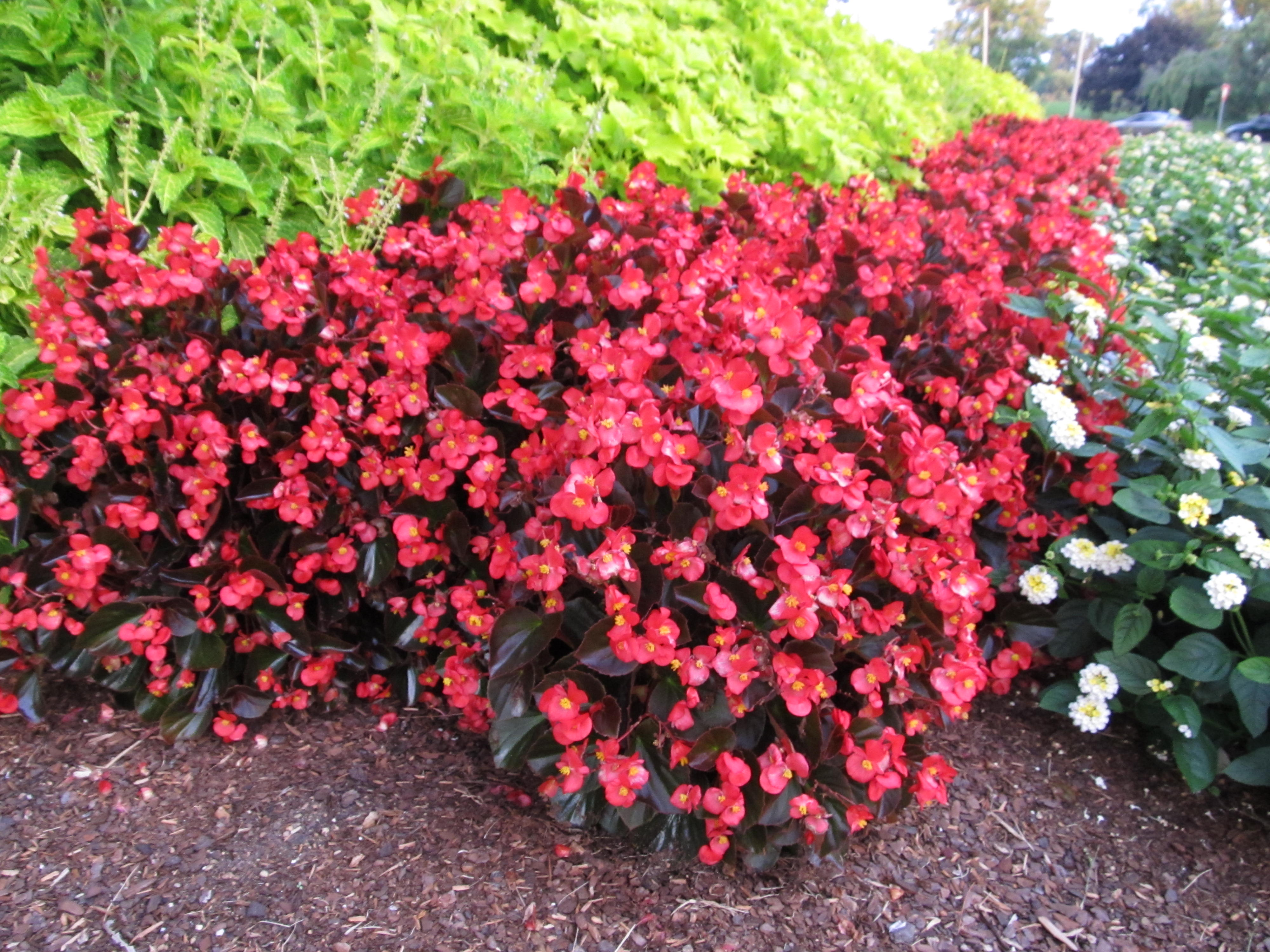 new big begonias showier alternative to wax begonias what grows there hugh conlon. Black Bedroom Furniture Sets. Home Design Ideas