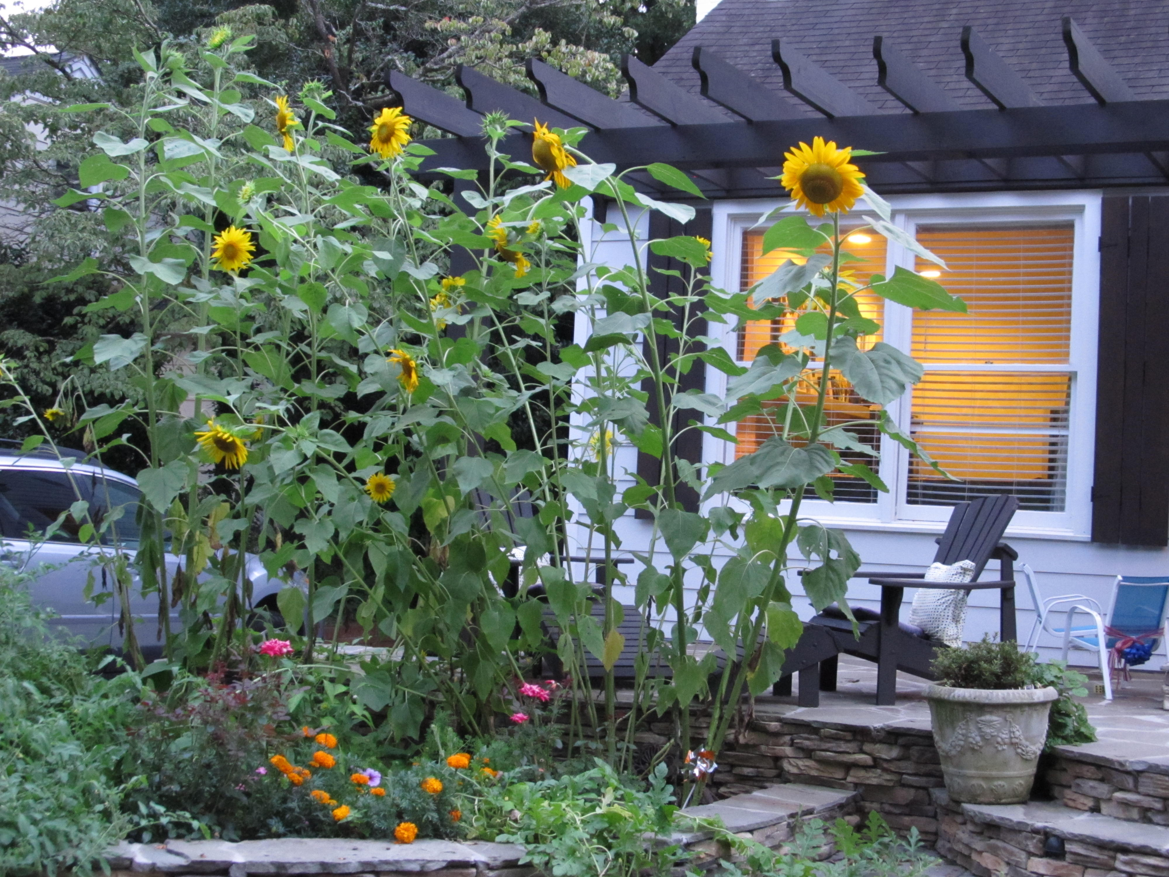 Sunflowers Growing In Front Of Home