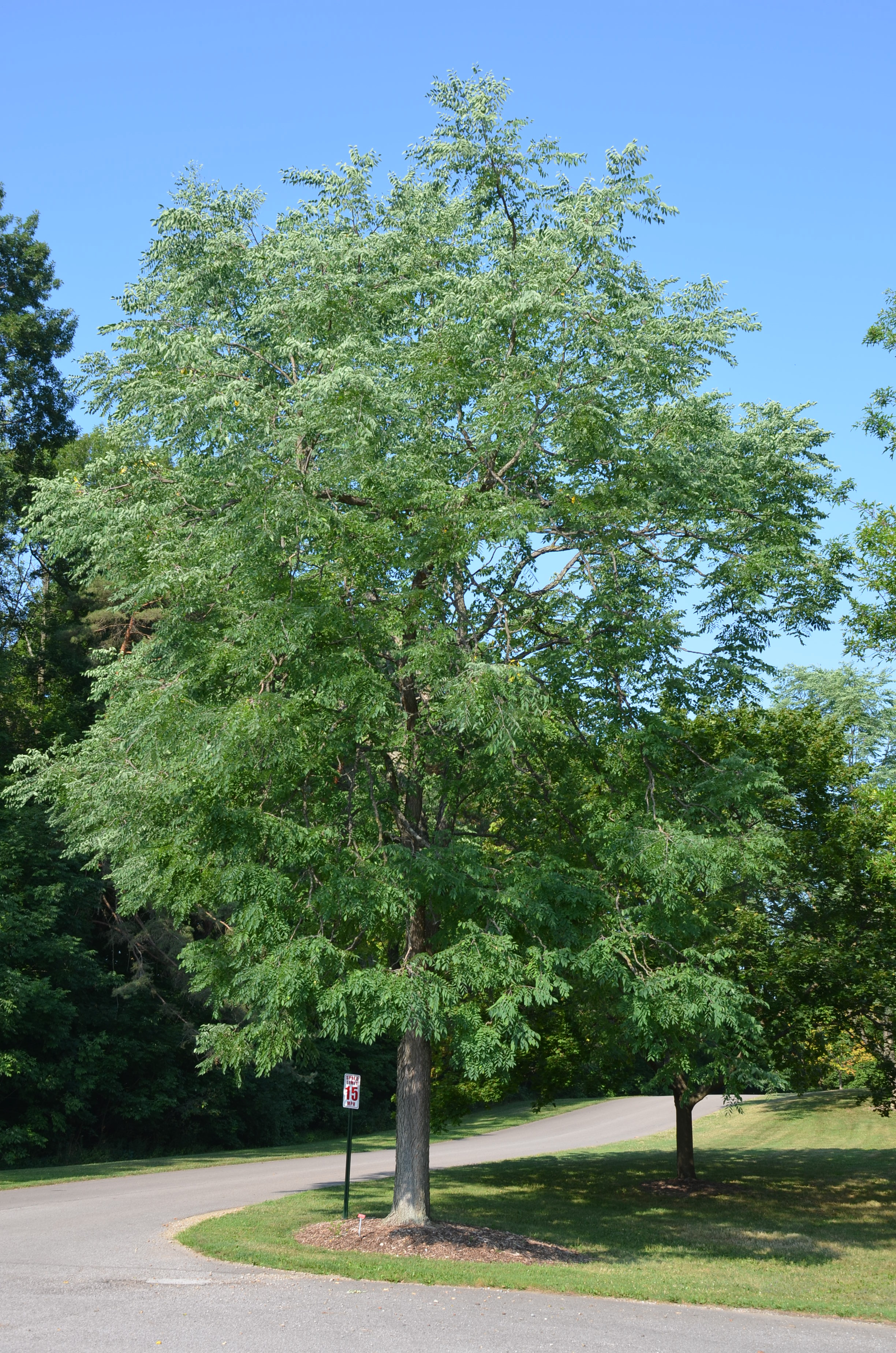 Kentucky Coffee A Superior Large Native Tree | What Grows There ...