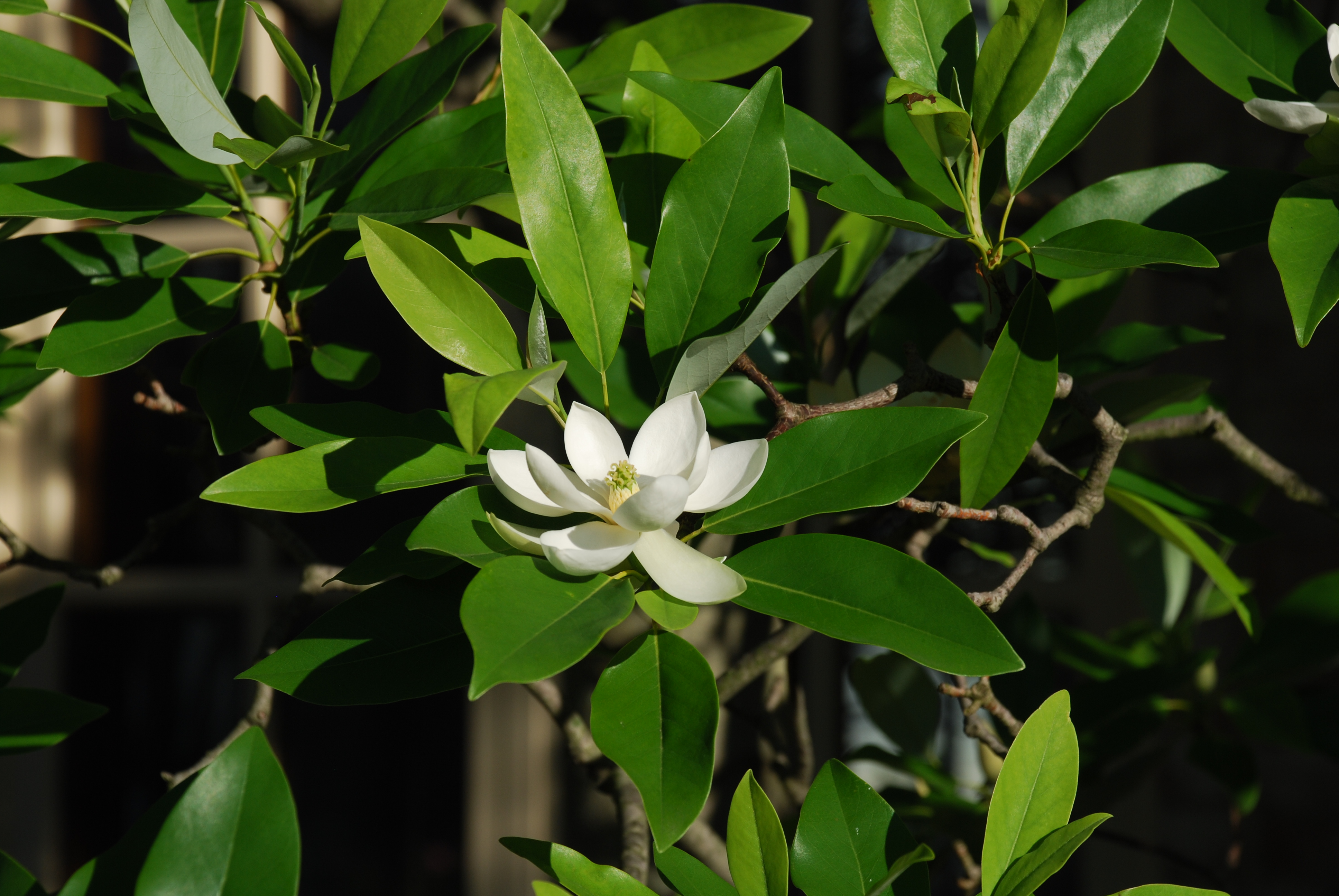 Sweetbay Magnolia What Grows There Hugh Conlon