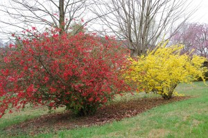 Flowering quince (left) and Forsythia (right)