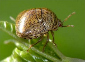 Kudzu bug (photo supplied by John Rochelle,  Plant Inspector, TN Dept. Of Agriculture