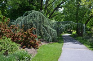 Weeping Blue Atlas Cedar at Biltmore Estate in Asheville, NC