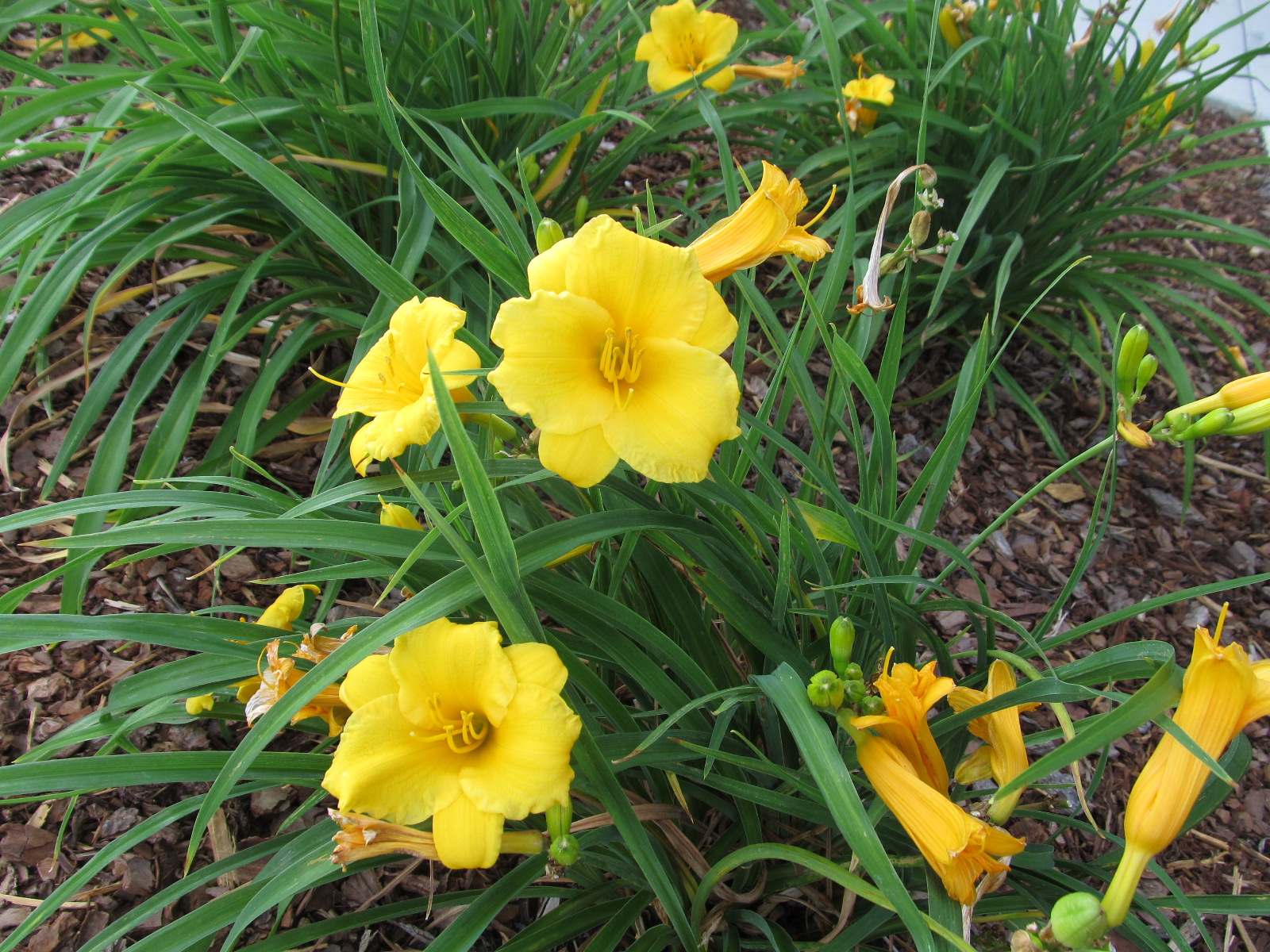 Stella D'Oro'- First And Last Daylily To Bloom | What Grows ... on