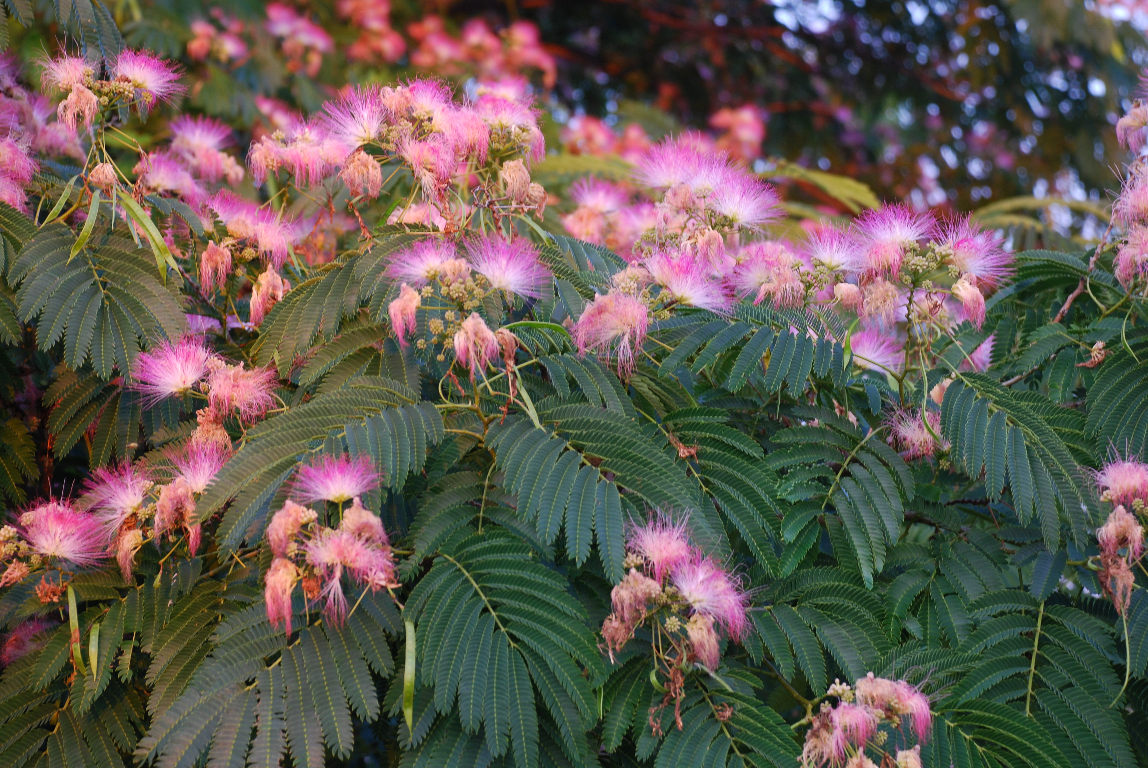 Ideas For Small Gardens Mimosa Tree Love It Or Weed It What Grows There Hugh