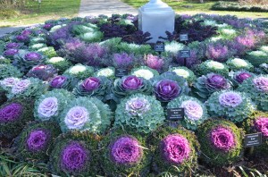 Collection of Flowering Kale at Dallas Arboretum in Winter 2013