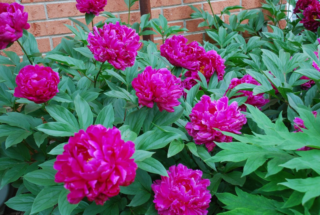 Spring Flowering Peonies Starts With Fall Planting