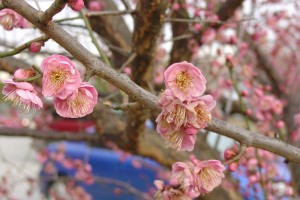 Prunus mume on ETSU campus in Johnson City, TN