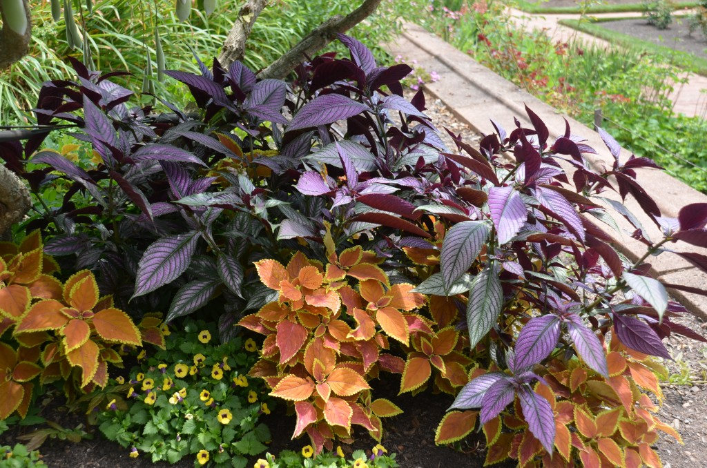 Persian shield and coleus at Biltmore Estate, Asheville, NC