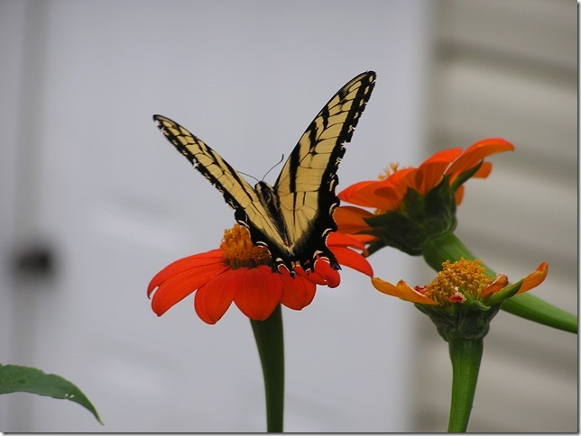 Tithonia + swallowtail (photo by Joy Stewart, Bristol, TN