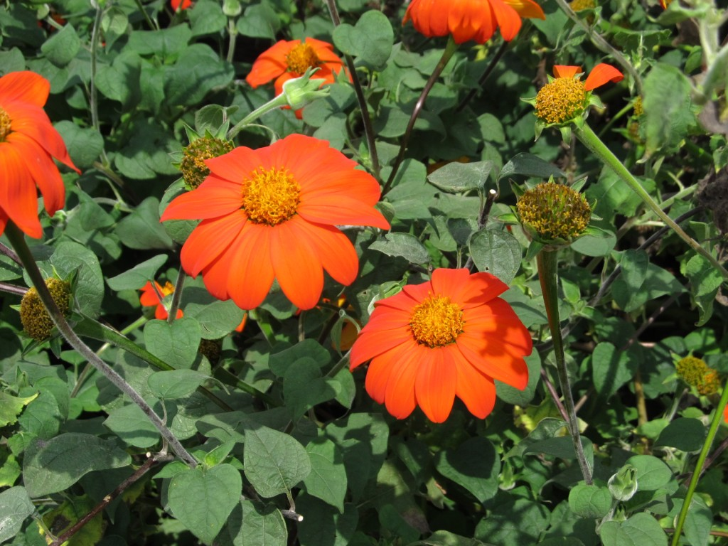 Mexican sunflower in late summer