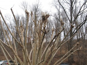 Poor Pruning of Crape Myrtles