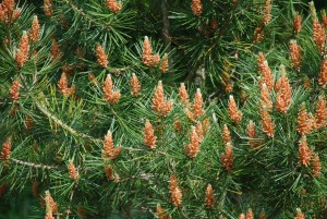 Lacebark Pine Blooming in mid-May